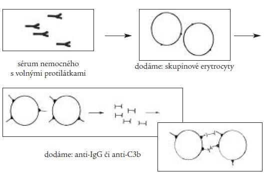 Nepřímý Coombsův test slouží k průkazu volných cirkulujících protilátek, v prvé fázi dochází k navázání těchto protilátek na dodané skupinové erytrocyty, v druhé fázi pak dochází k aglutinaci erytrocytů po přidání antiIgG- či antiC3b-protilátky stejně jako v přímém testu.