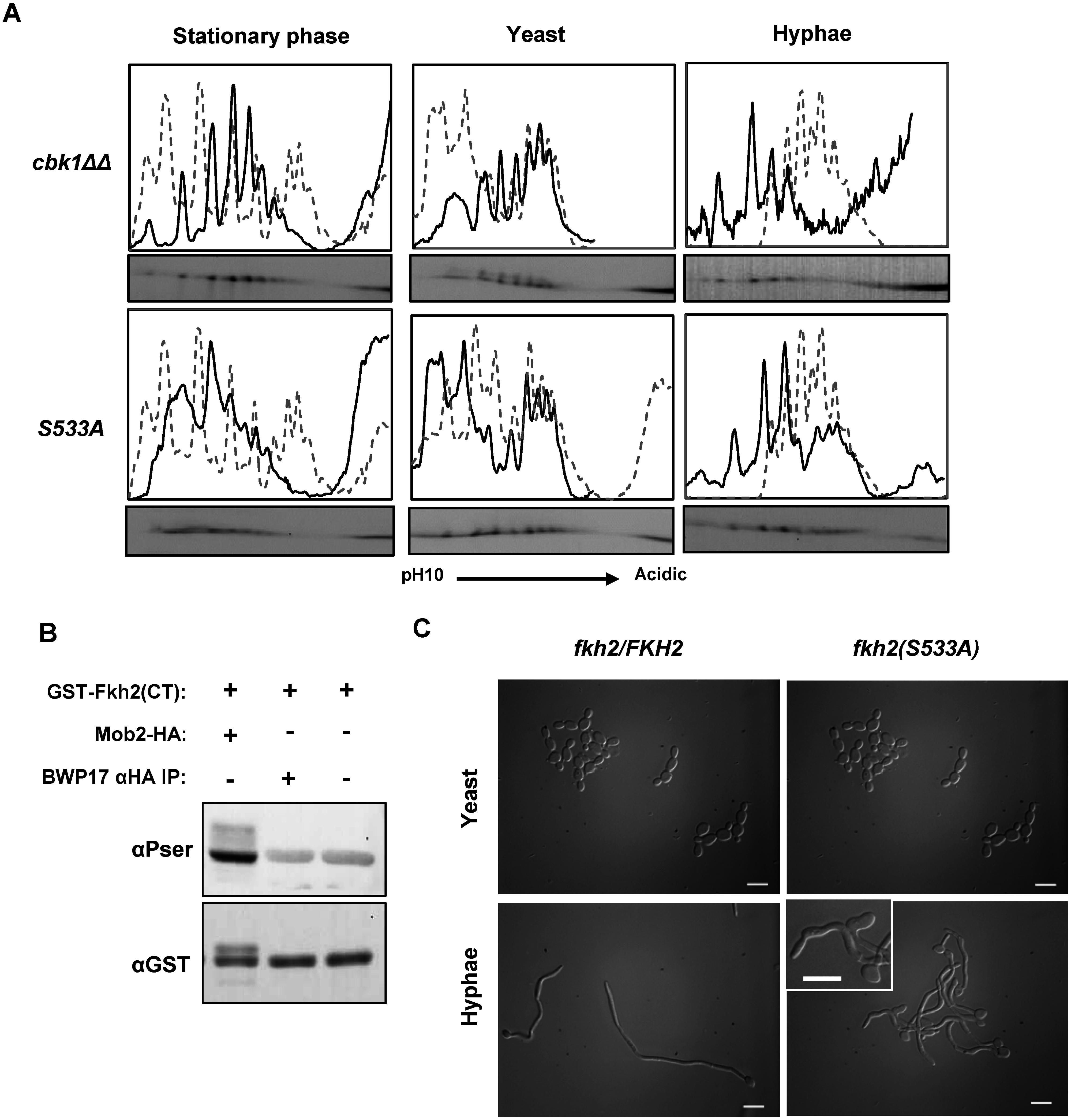 Fkh2 is phosphorylated at serine 533 by Cbk1-Mob2.