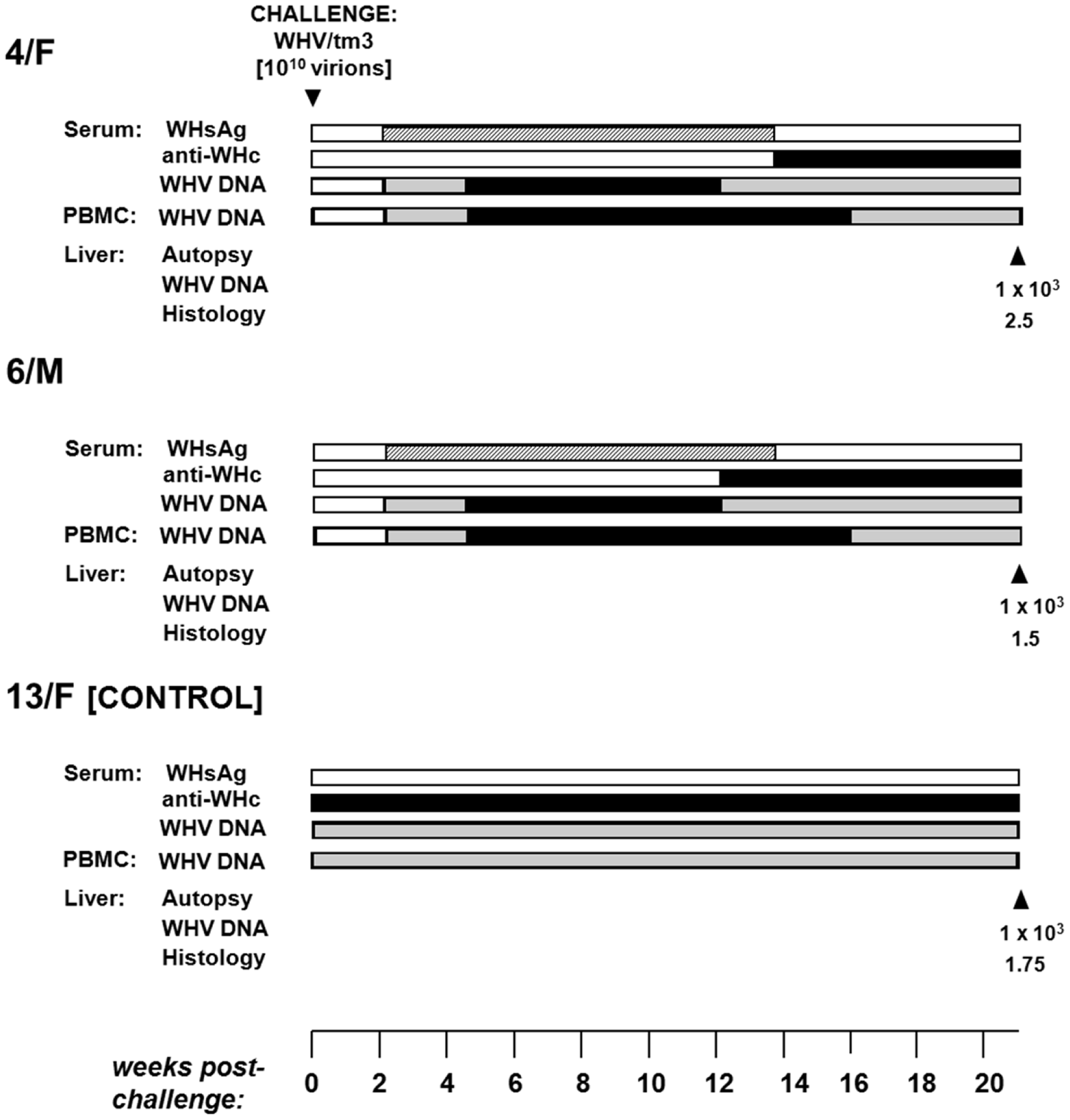 Profiles of serological markers of WHV infection and WHV DNA detection in serum, PBMC and liver tissue samples, and the results on liver histology in 4/F and 6/M woodchucks with POI and in a control 13F animal with SOI after challenge with a single 10<sup>10</sup> virion dose of WHV/tm3.