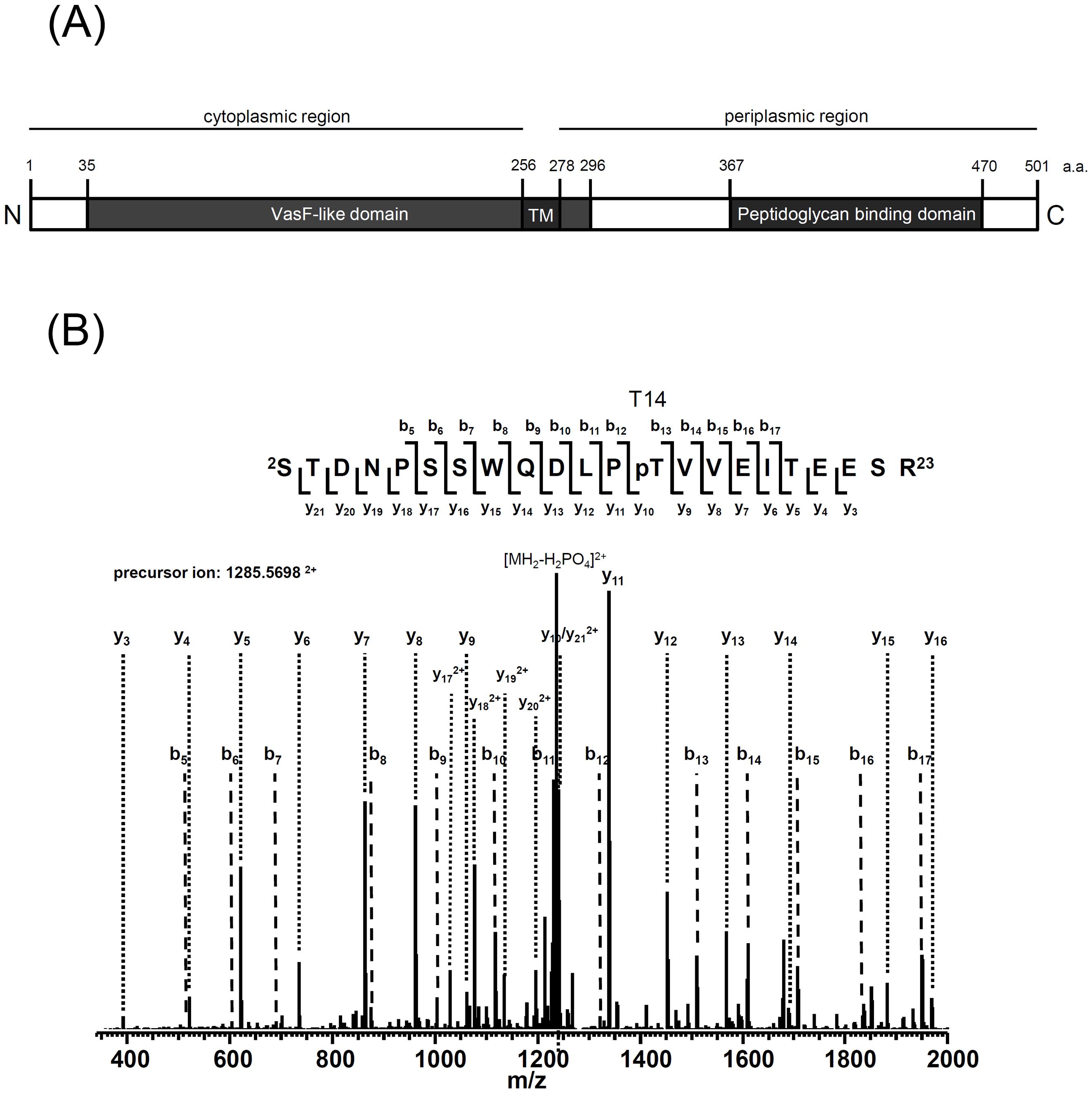 Mass spectrometry identification of TssL phosphorylation at Thr 14.