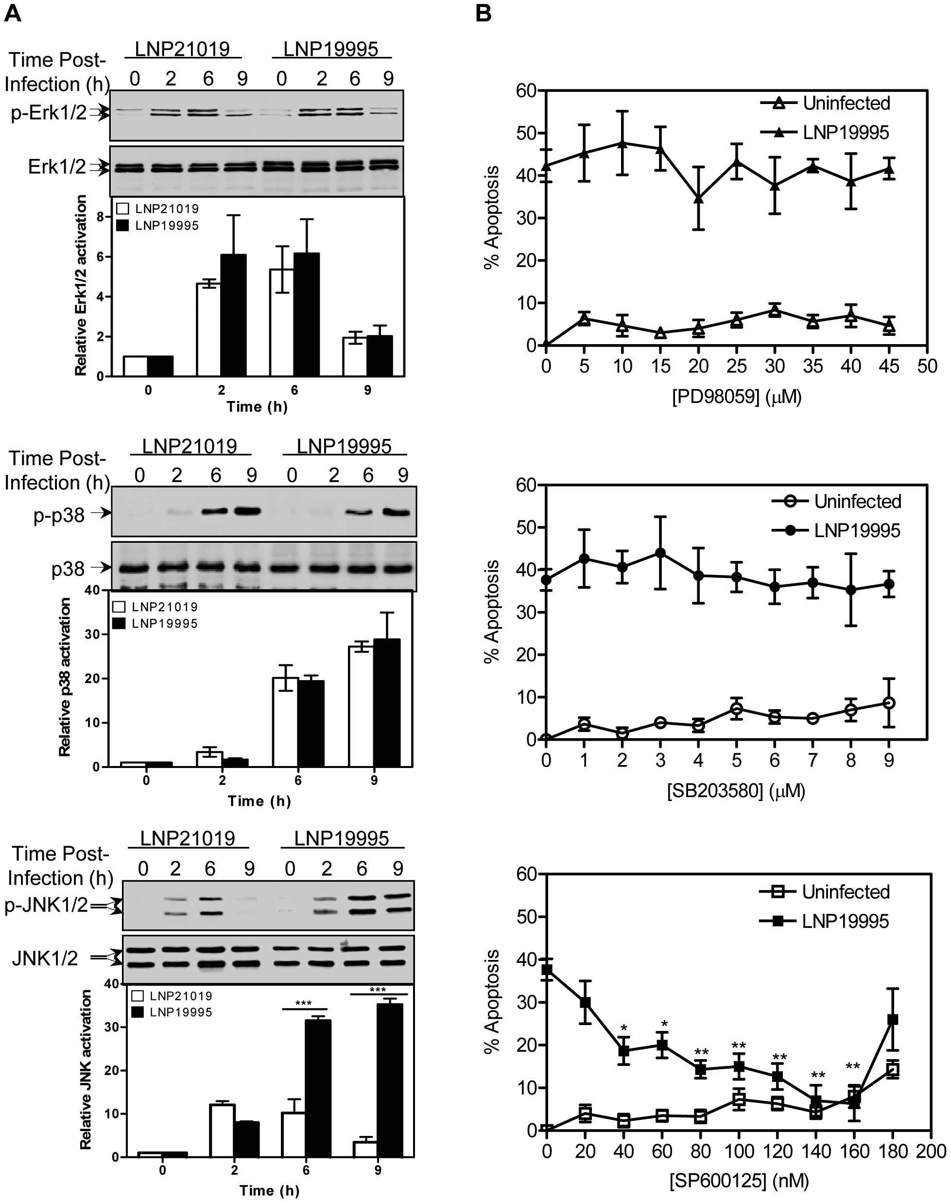 Role of MAPK in apoptosis of Hec-1B cells induced by the ST-11 isolates.