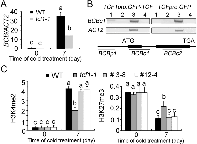 Chromatin immunoprecipitation assay of chromatin loci associated with TCF1.