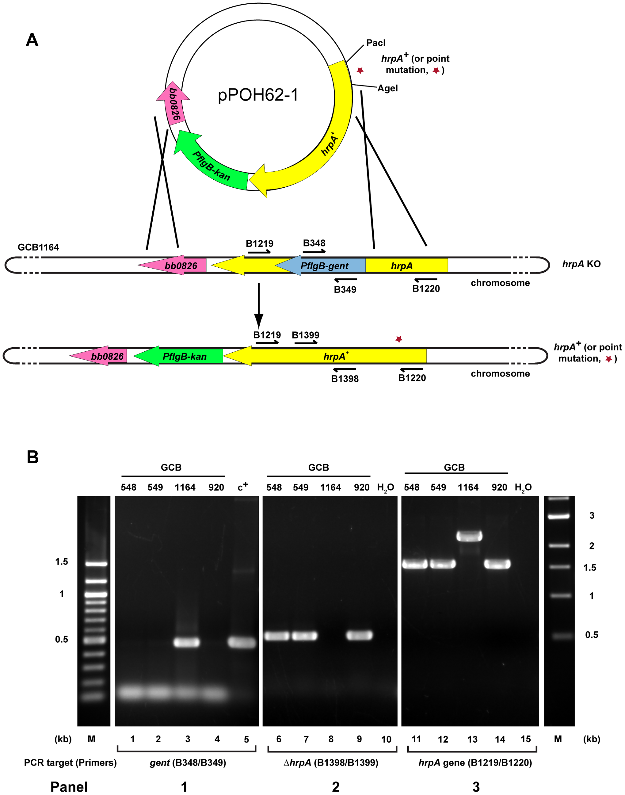 Strategy for complementation and insertion of point mutations in <i>B. burgdorferi hrpA</i>.