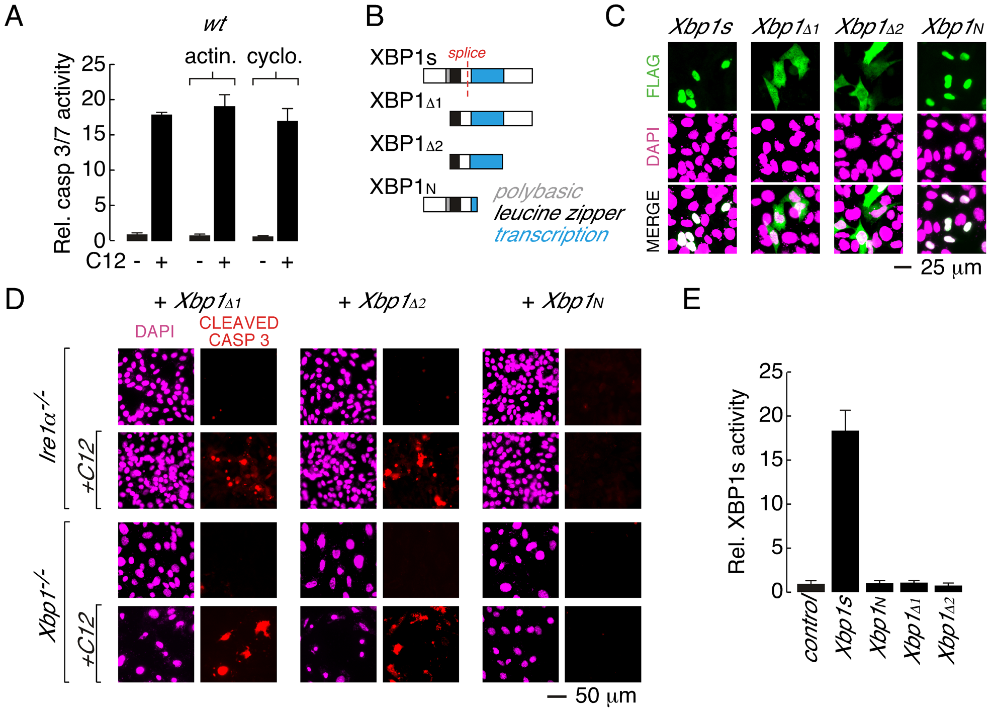 Leucine zipper and transcriptional activation domains of XBP1s are sufficient for C12-mediated caspase activation.