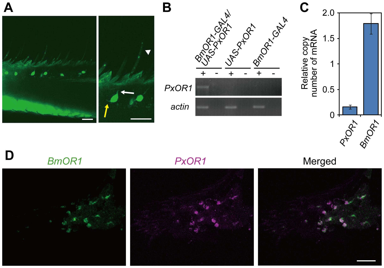 Transgenic silkmoths expressing PxOR1 in bombykol receptor neurons.
