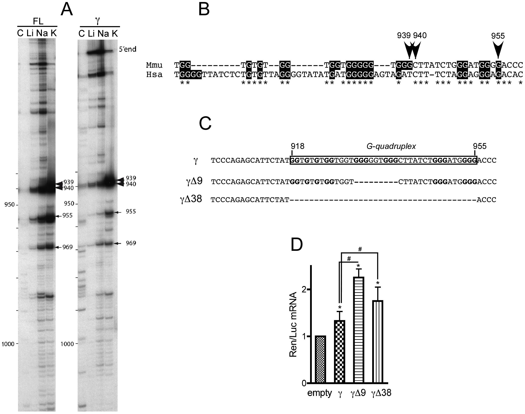 The γ portion of <i>p21</i> mRNA 3′UTR contains an evolutionary conserved G-quadruplex structure with mRNA stabilization properties.