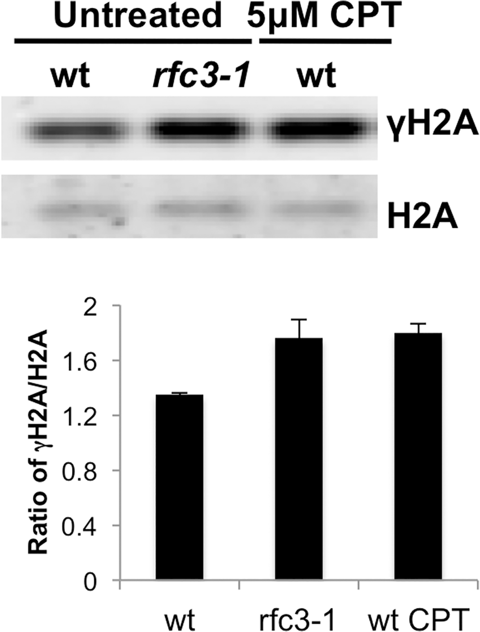 Increased γH2A in <i>rfc3-1</i> mutant.