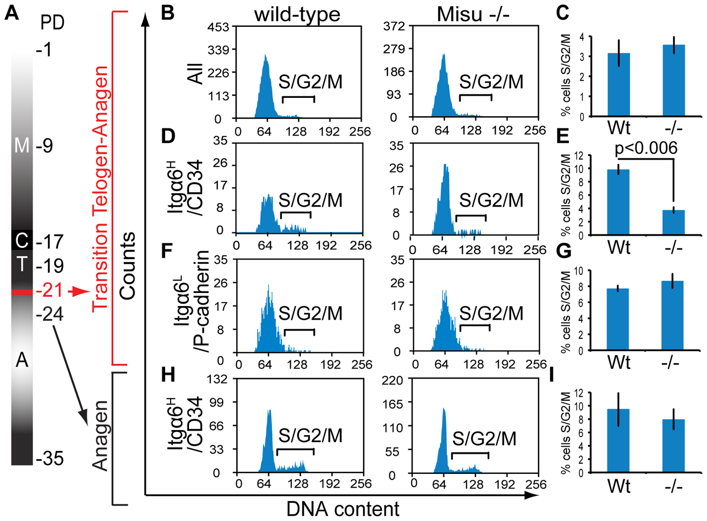 Misu delays cell cycle entry of bulge stem cells at the onset of anagen.