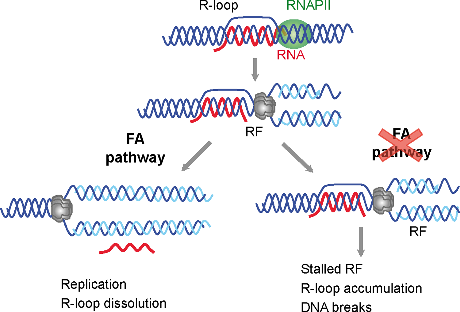 Model for a role of the FA pathway in preventing R-loop accumulation.