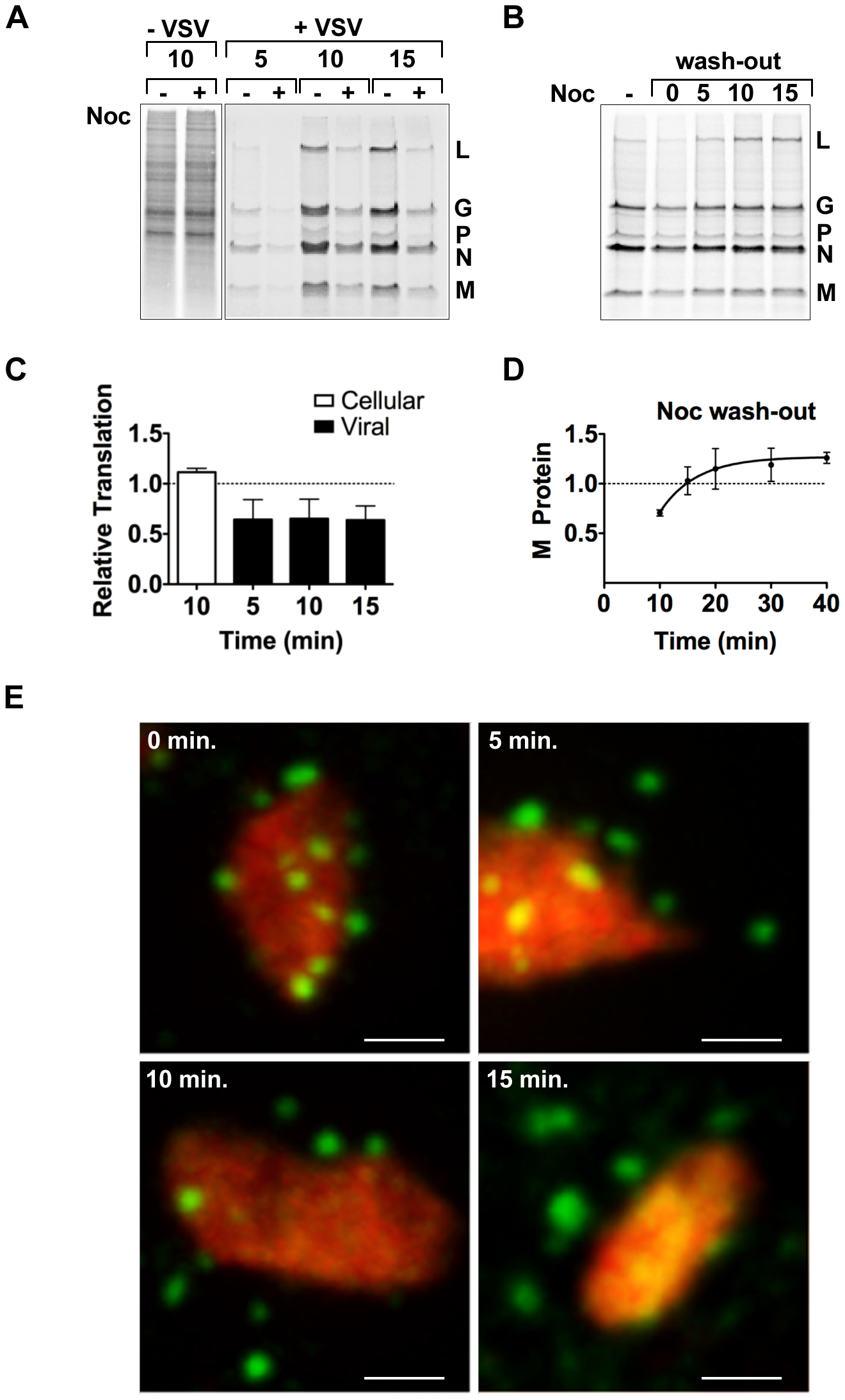 Microtubules are required for efficient translation of VSV mRNAs.