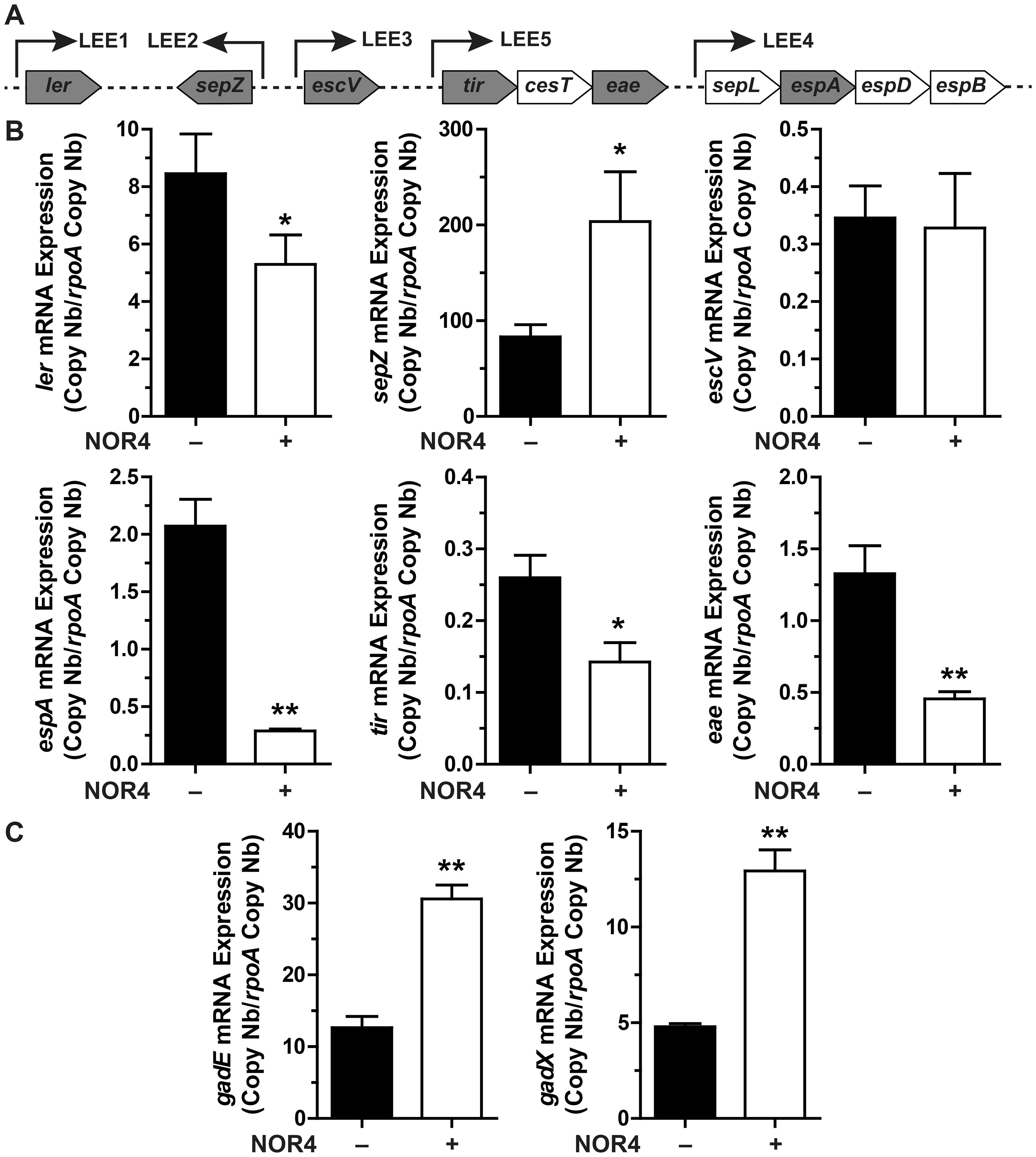 Influence of NO on LEE, <i>gadX</i>, and <i>gadE</i> gene expression.