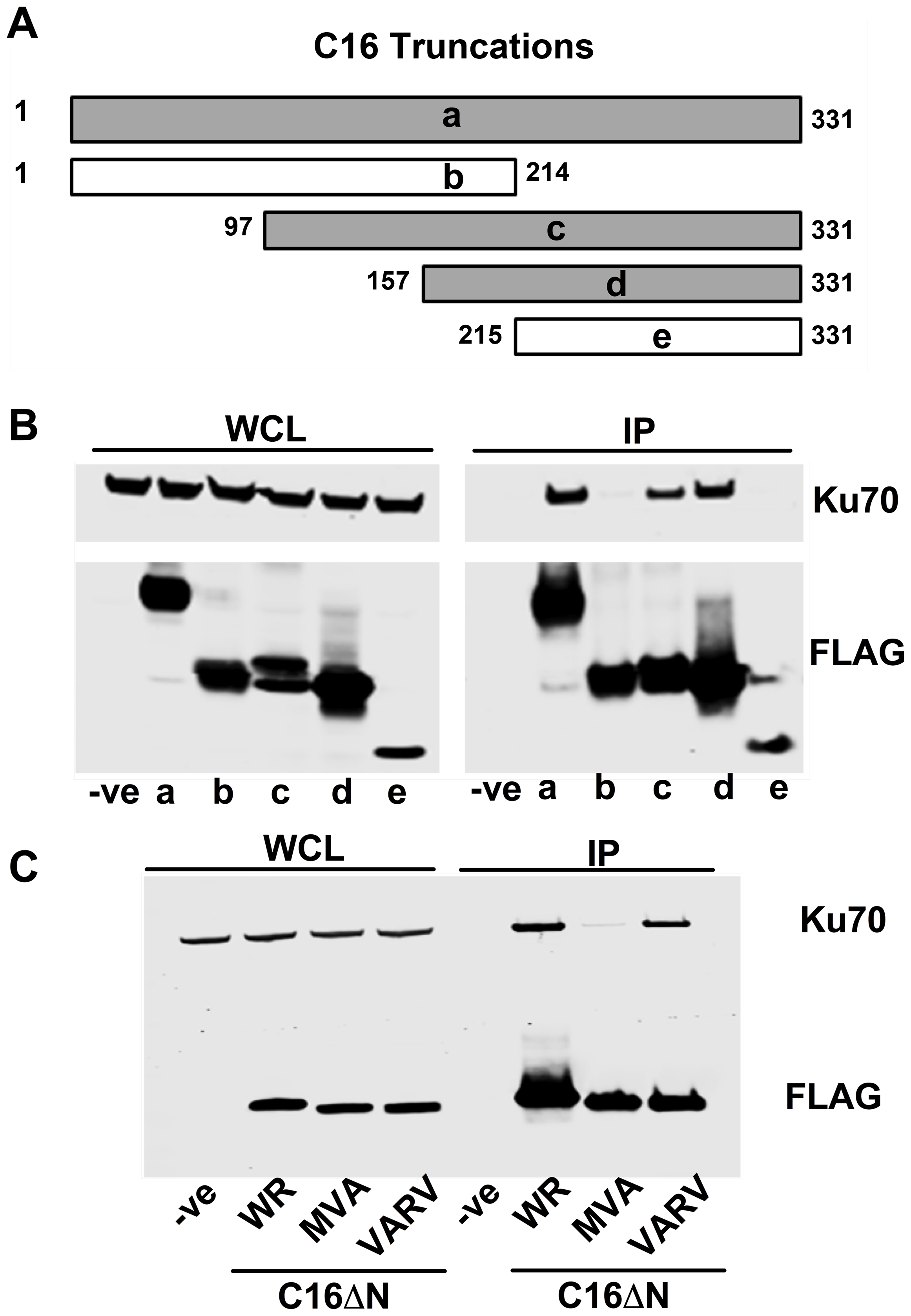 The C-terminal domain of C16 is sufficient for binding to Ku.