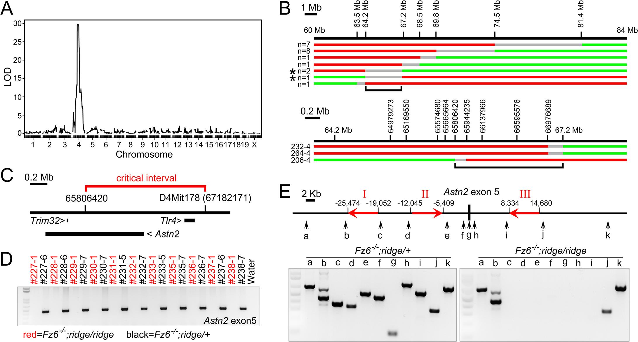 Identification of <i>Astn2</i> as the <i>ridge</i> gene.