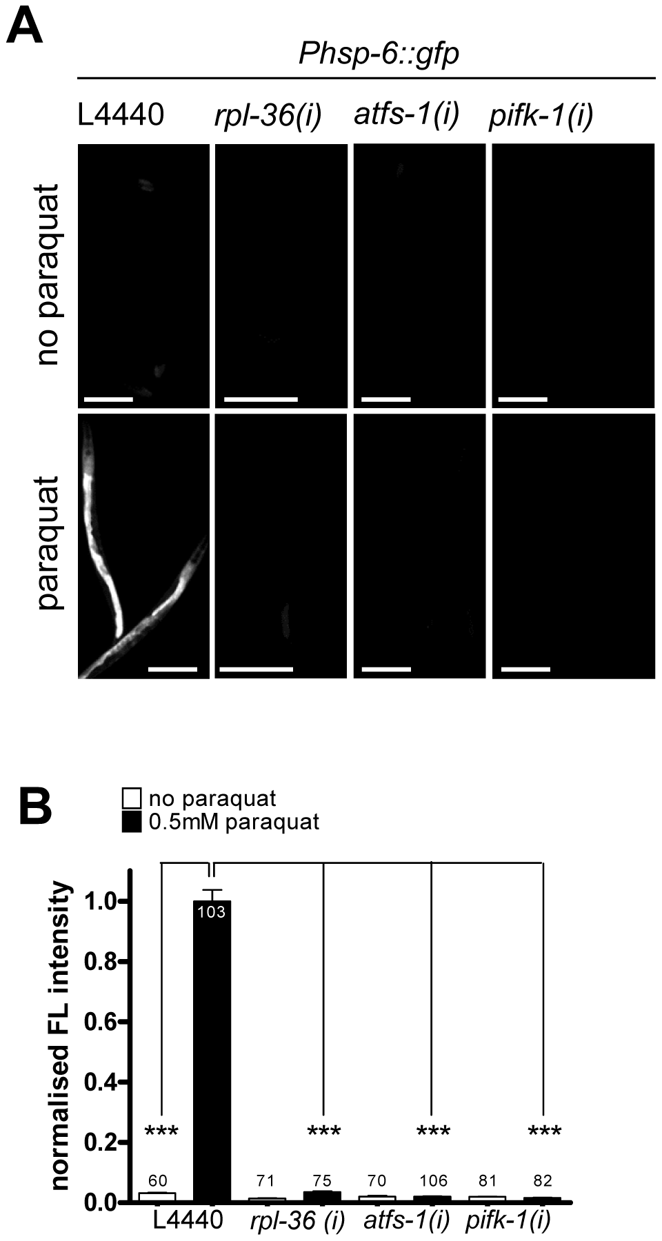 Activities of <i>rpl-36</i>, <i>atfs-1</i> and <i>pifk-1</i> are required for the <i>hsp-6</i> response to paraquat.