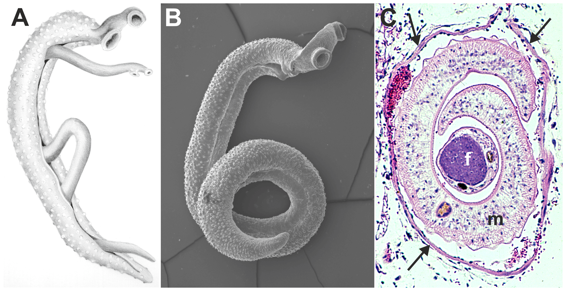 Images of adult schistosomes.
