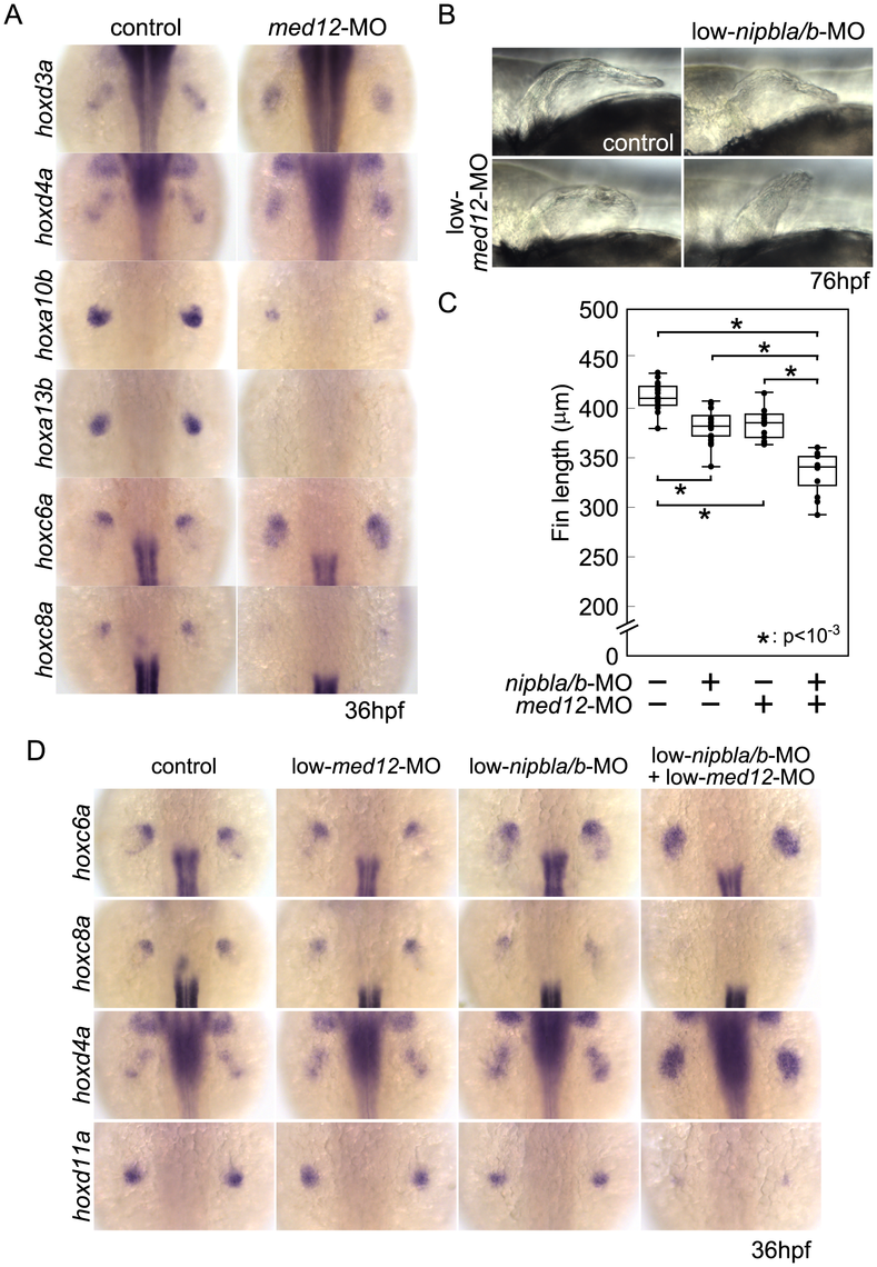 Functional interactions between Nipbl and Med12 in pectoral fin development.