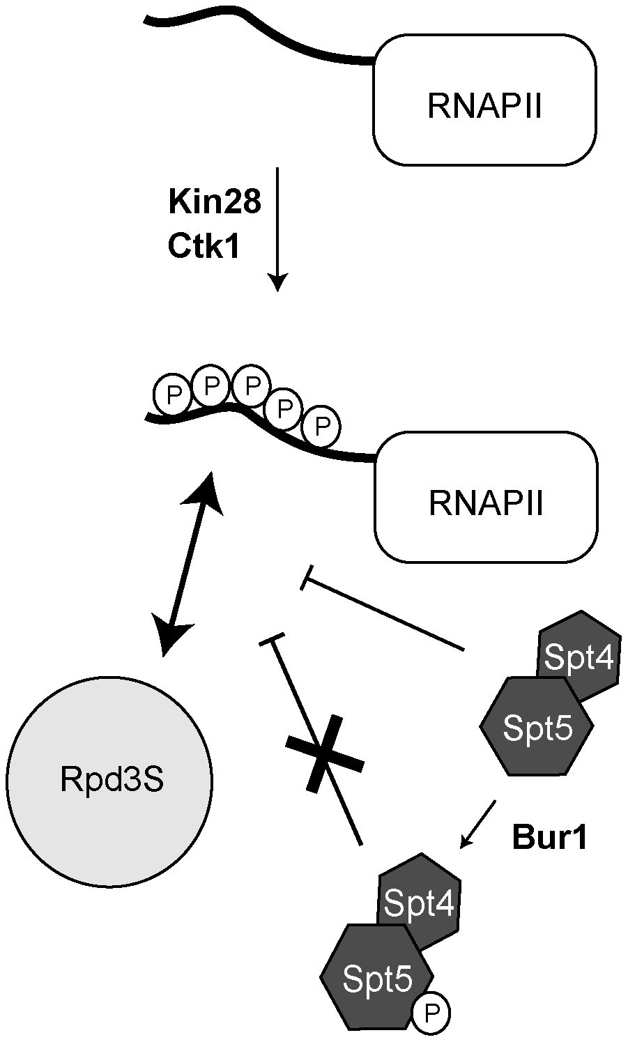 A model summarizing how Rpd3S is recruited to active genes.