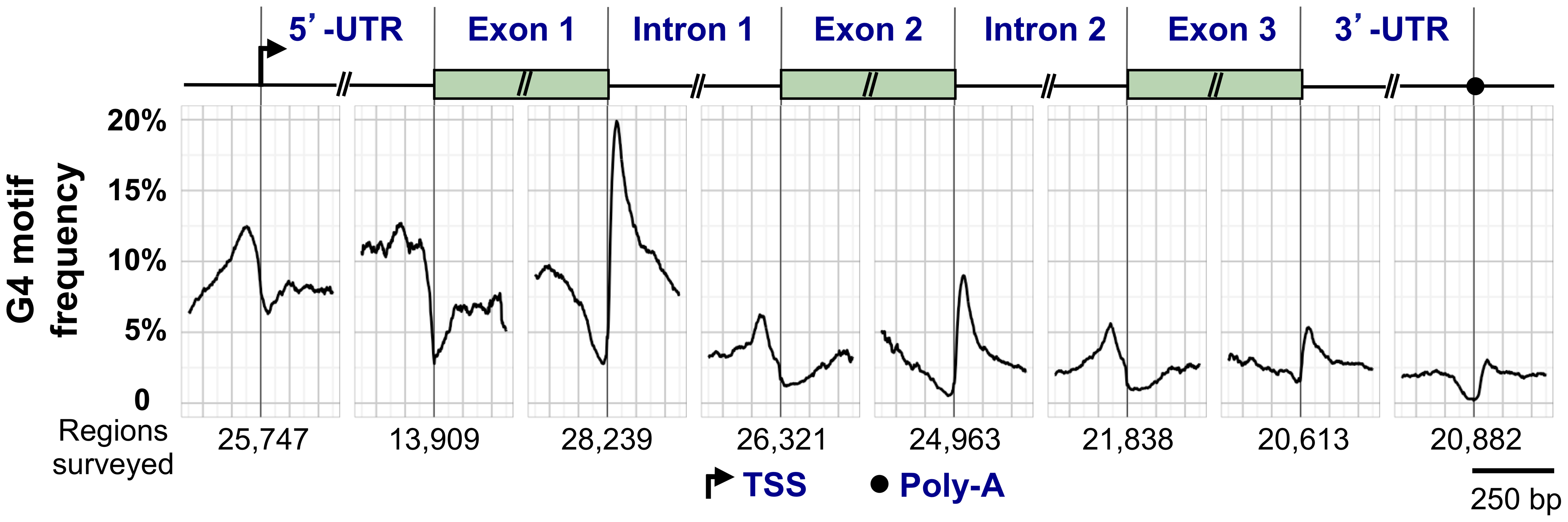 G4 motif frequency in a generic human RefSeq gene.