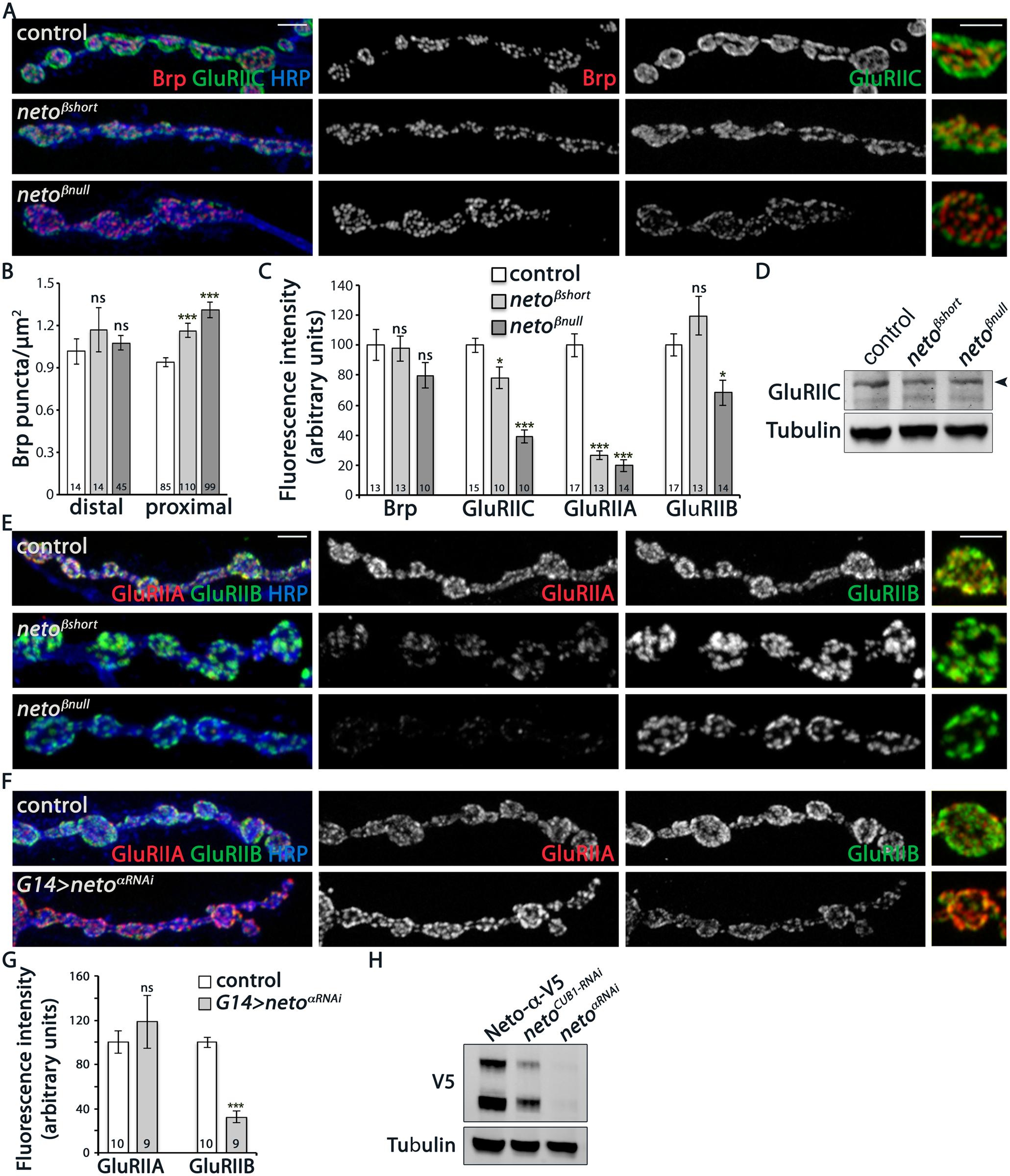 iGluRs synaptic accumulation is perturbed at <i>neto-β</i> mutant NMJs.