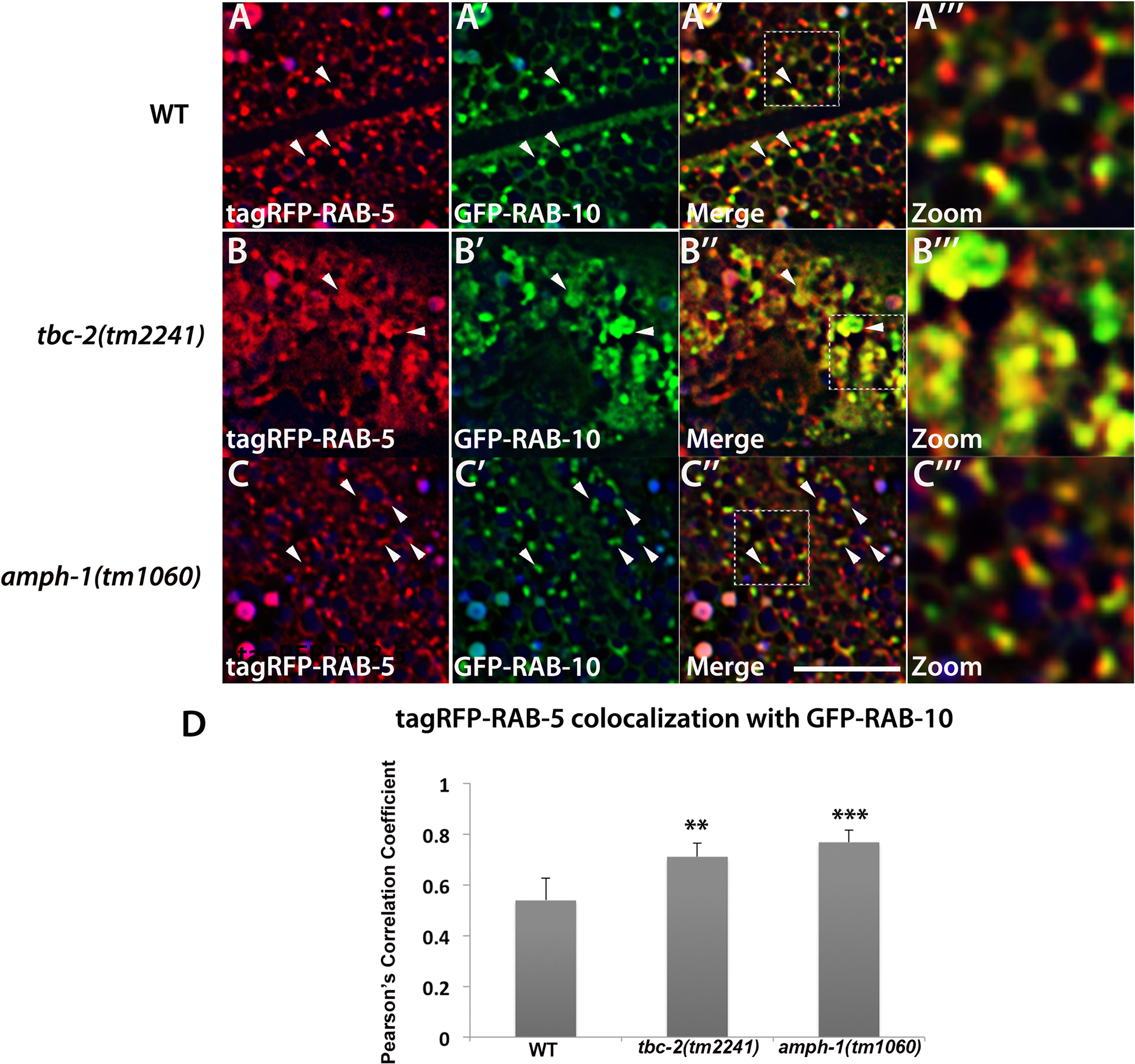 Loss of TBC-2 or AMPH-1 alters the spatial coordination of RAB-5 and RAB-10.