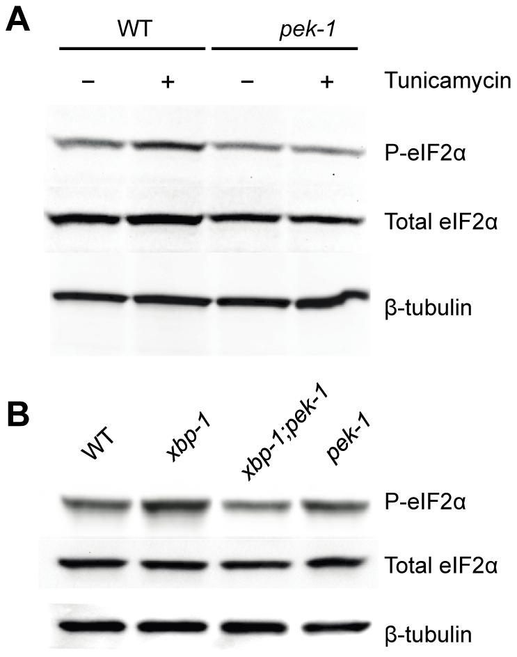 XBP-1 deficiency increases PEK-1 dependent phosphorylation of eIF2α.