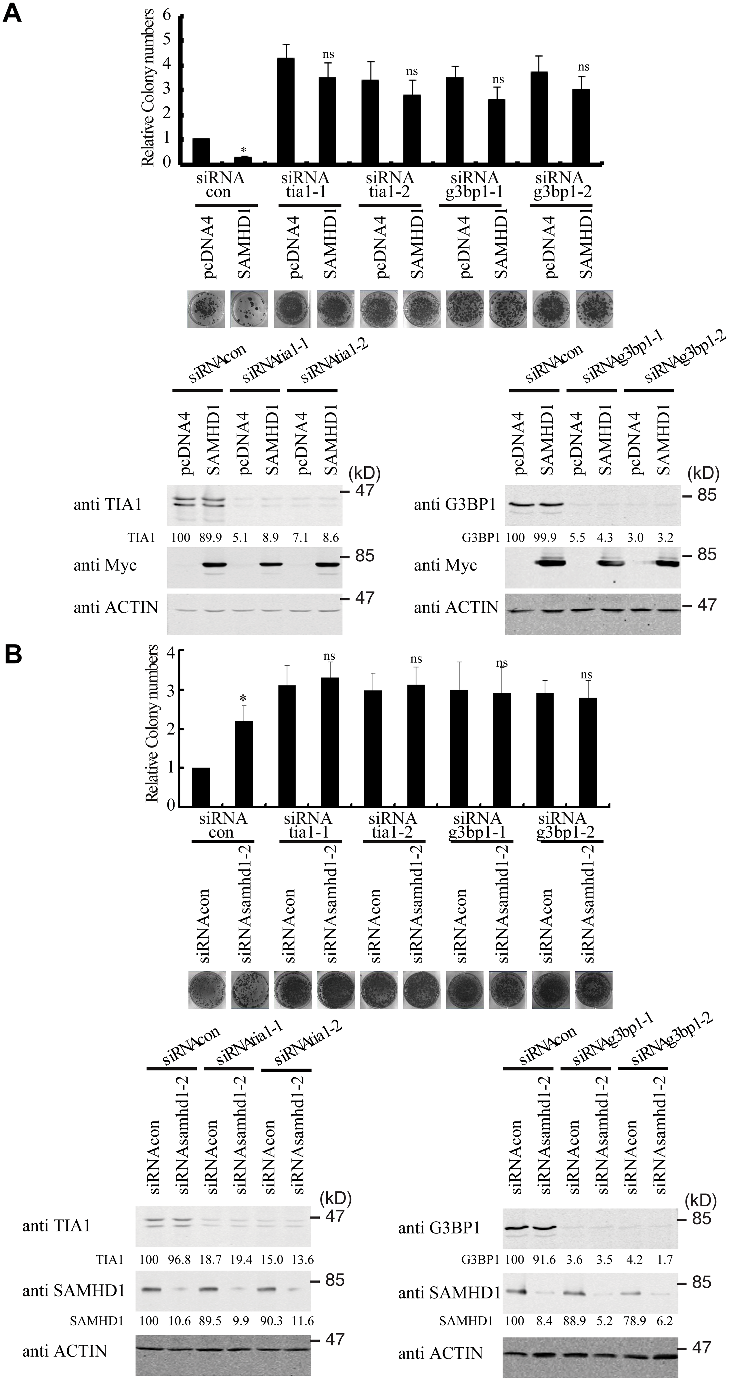 TIA1 and G3BP1 are required for SAMHD1 to inhibit LINE-1 retrotransposition.