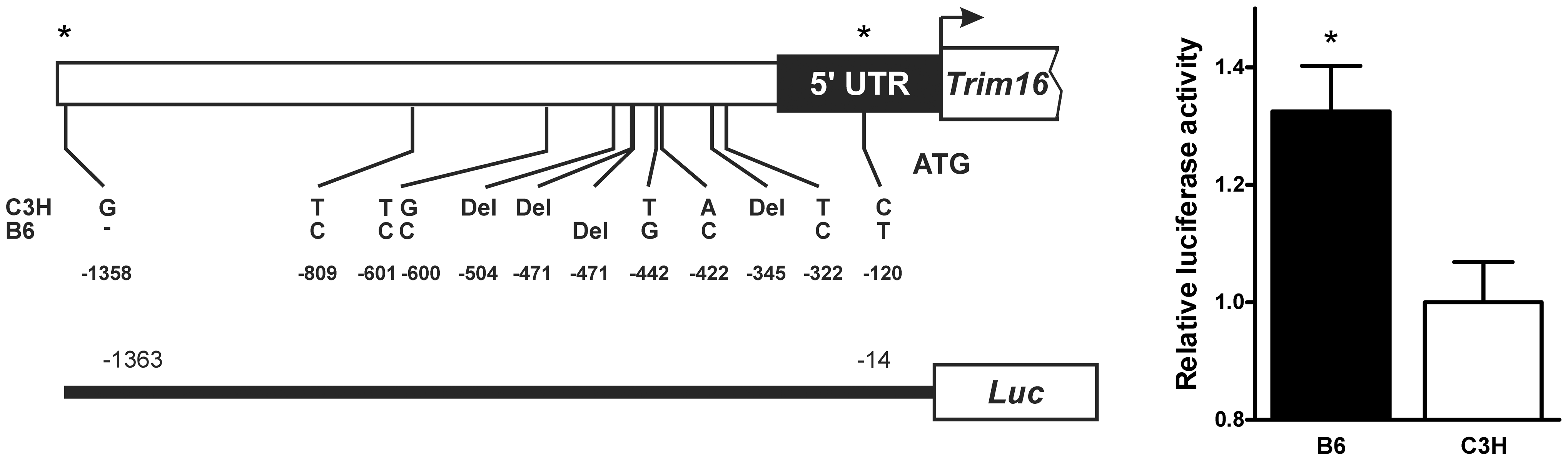 B6 and C3H <i>Trim16</i> promoter sequence variation alters transcription.