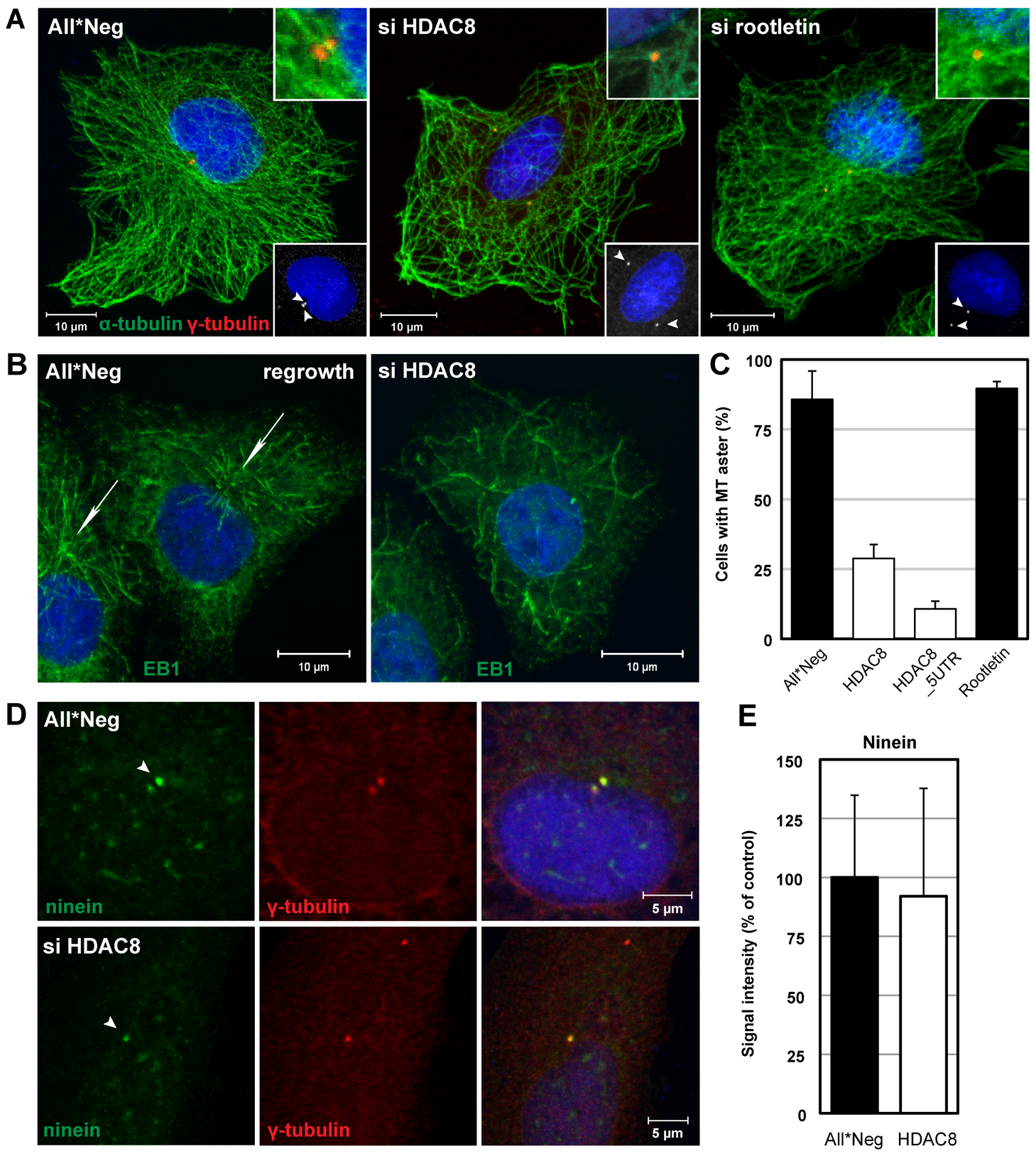HDAC8 is required for centrosome cohesion and MT nucleation/anchorage at the centrosome.