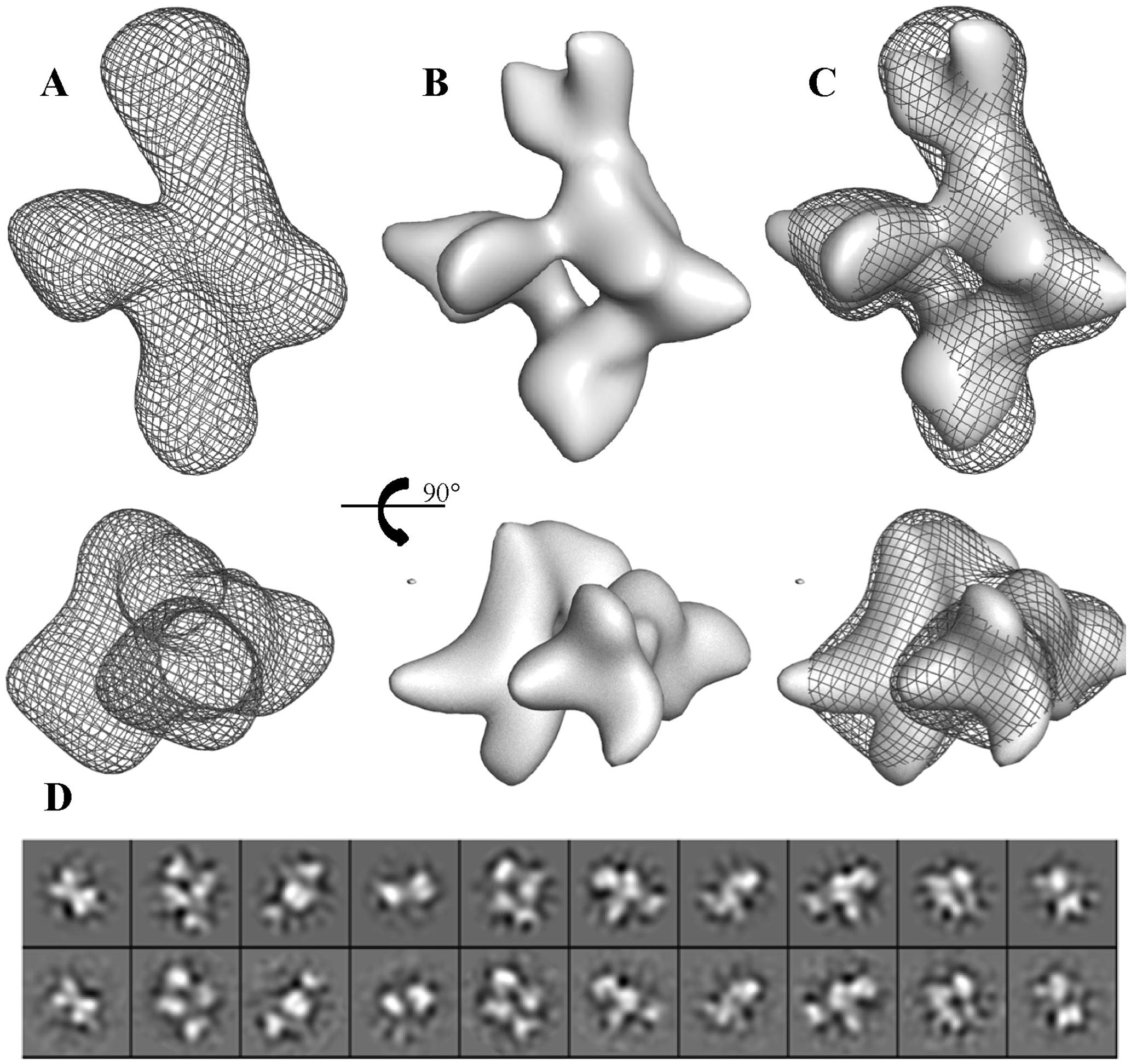 Three-dimensional reconstruction of BC2L-C.