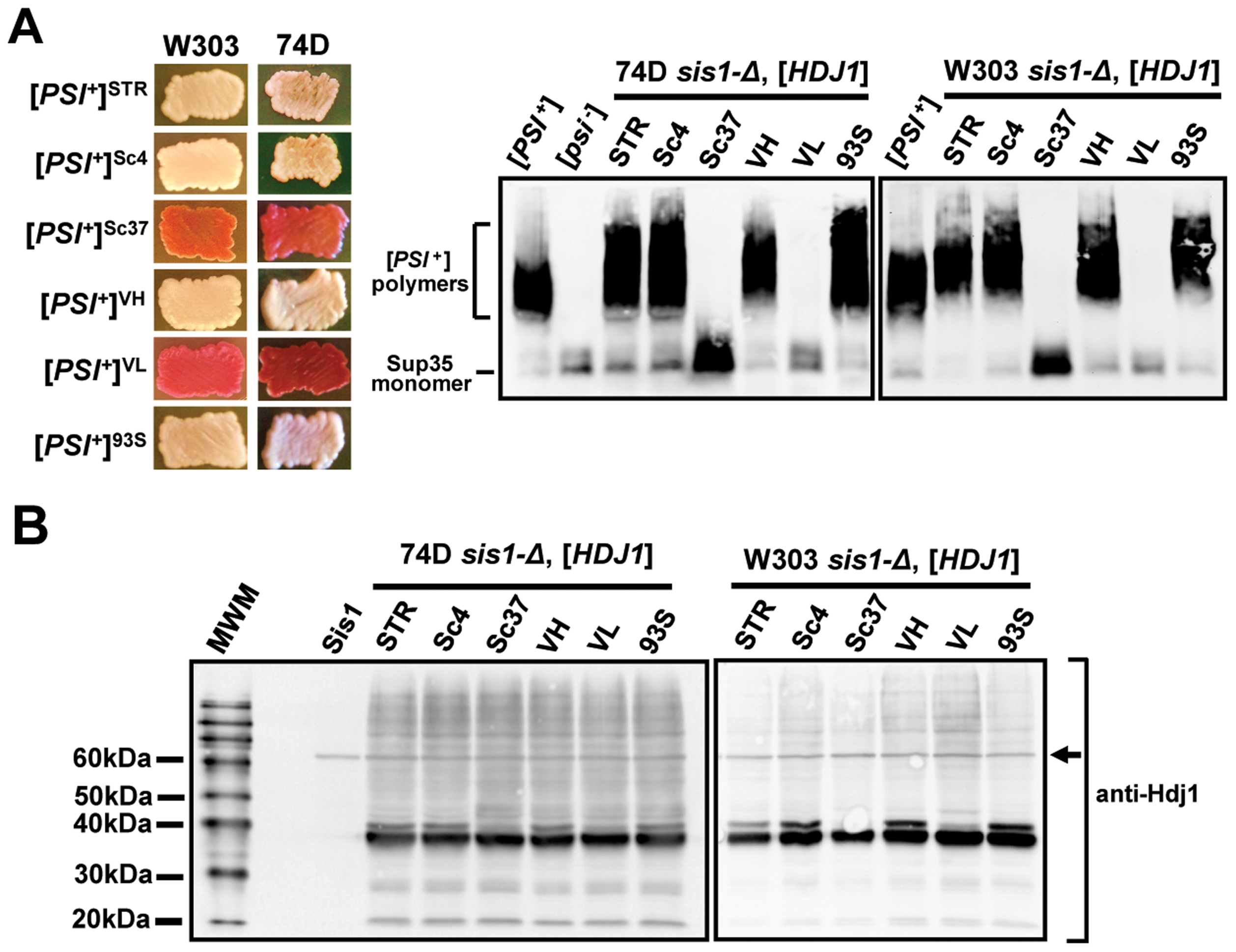 Hdj1, the human homolog of Sis1, maintains strong but not weak [<i>PSI<sup>+</sup></i>] variants in two yeast genetic backgrounds.