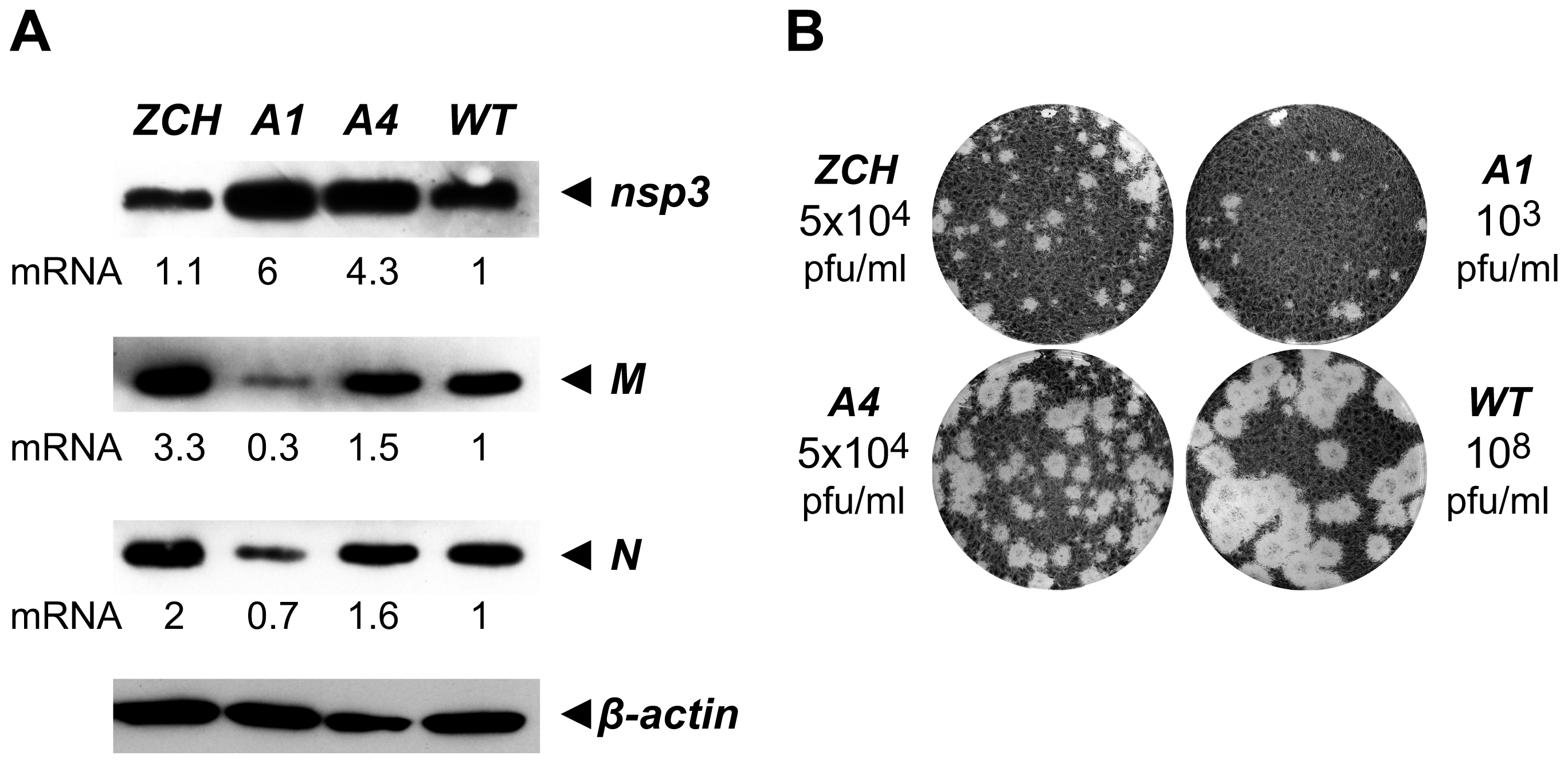 Analysis of viral protein accumulation and virus production by selected nsp1 mutants.