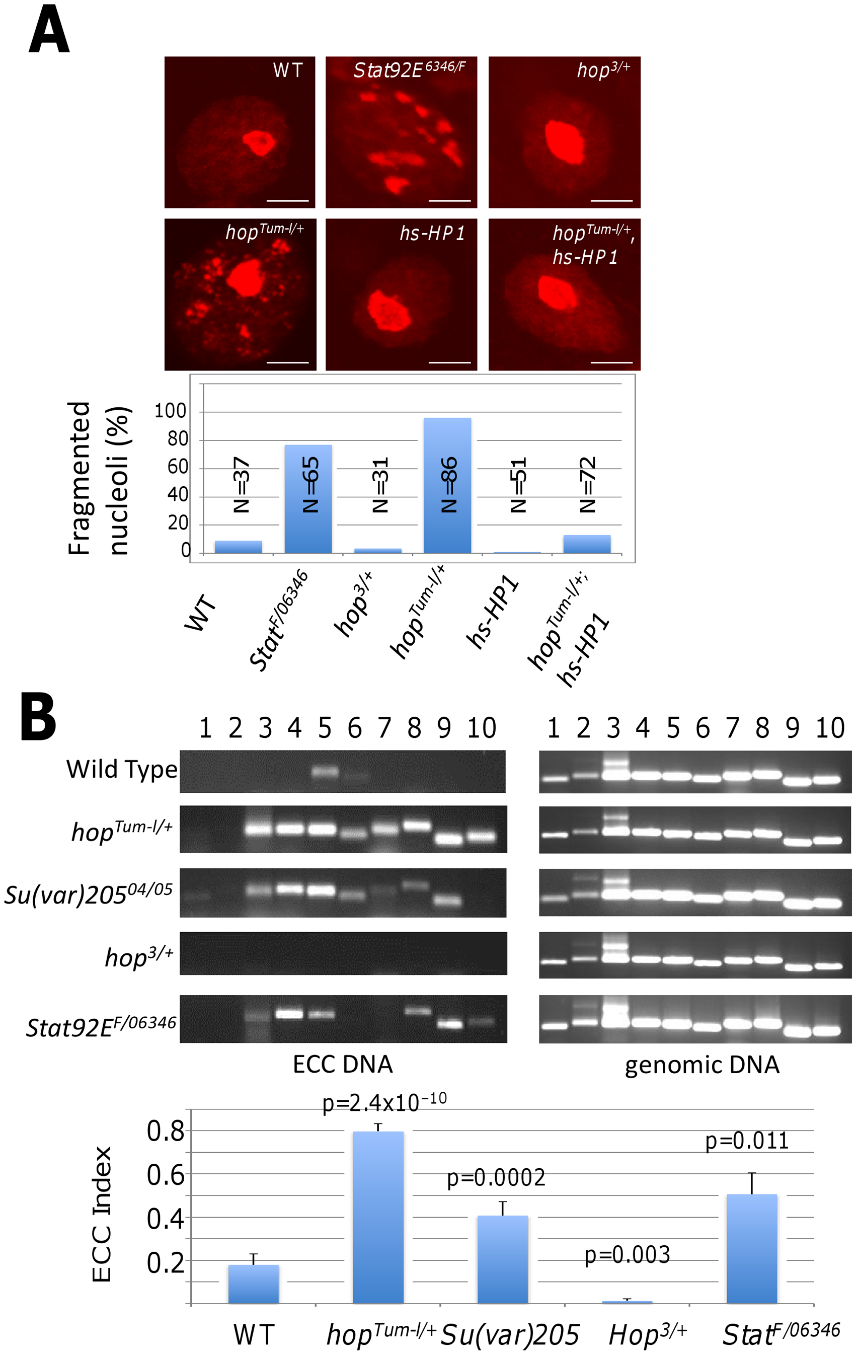 Heterochromatin affects stability of the nucleolus and rDNA locus.