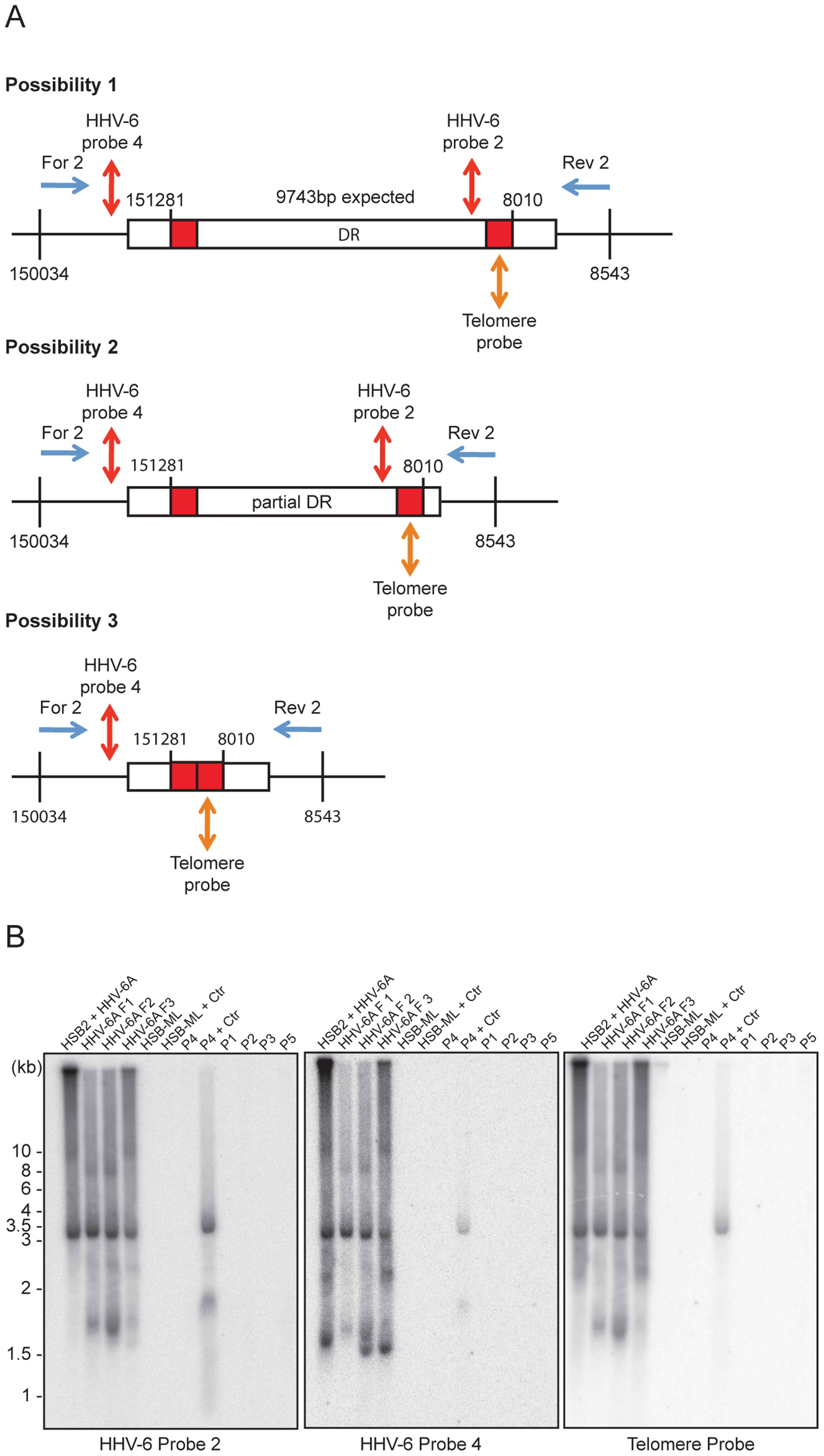 PCR amplification of circular HHV-6 genomes having a single direct repeat (DR).