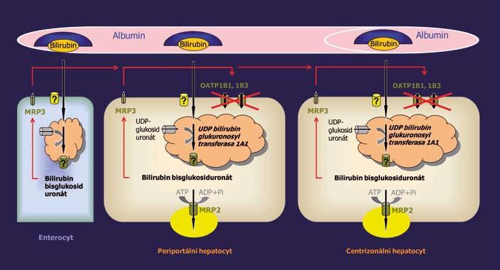Porucha jaterního vychytávání konjugovaného bilirubinu vyvolaná deficitem OATP1B1 a OATP1B3 je příčinou Rotorova syndromu. Fig. 1. Impaired liver uptake of conjugated bilirubin caused by OATP1B1 and OATP1B3 deficiency is the molecular basis of Rotor syndrome.