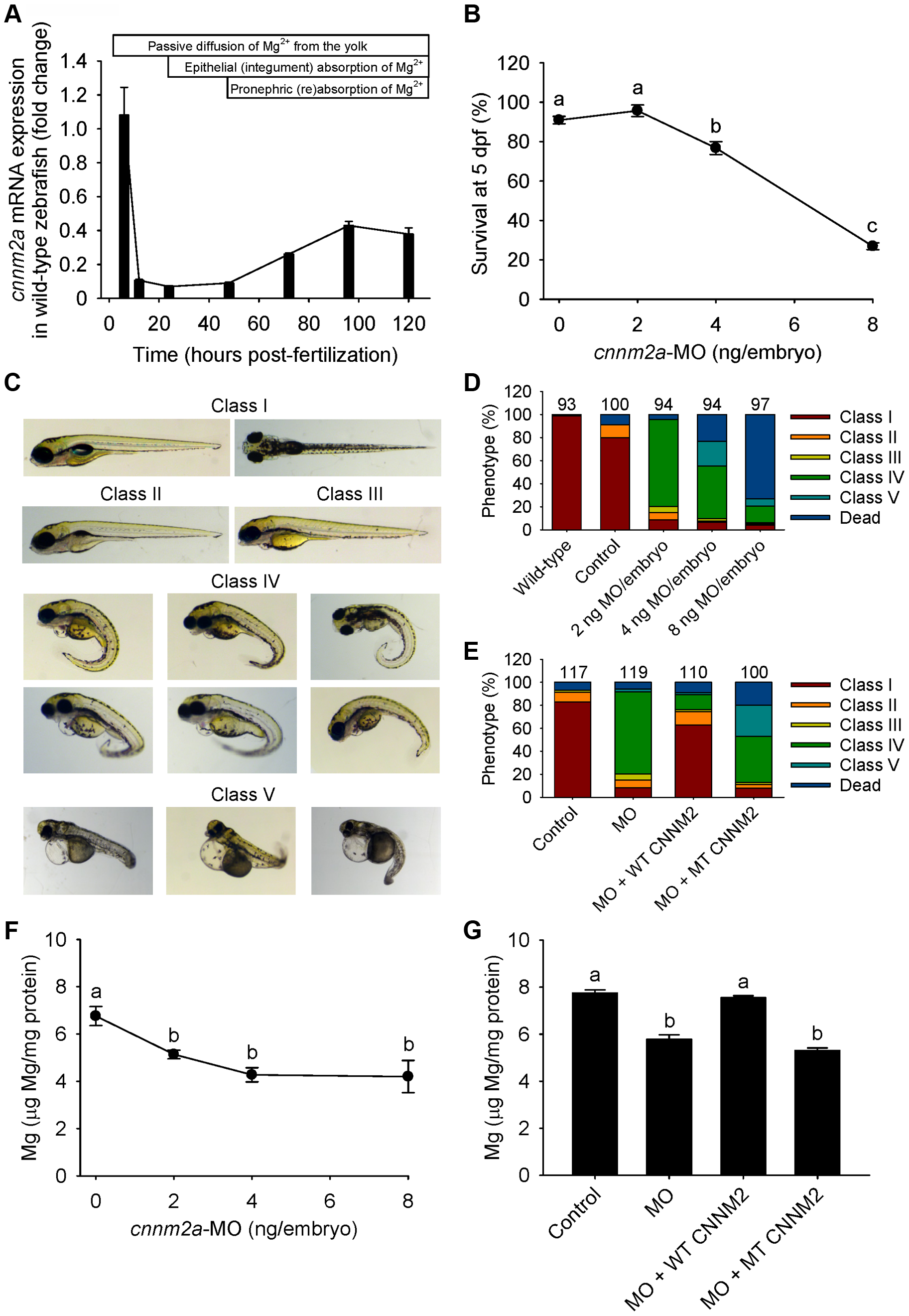 Knockdown of <i>cnnm2a</i> results in Mg wasting in zebrafish larvae (5 dpf).