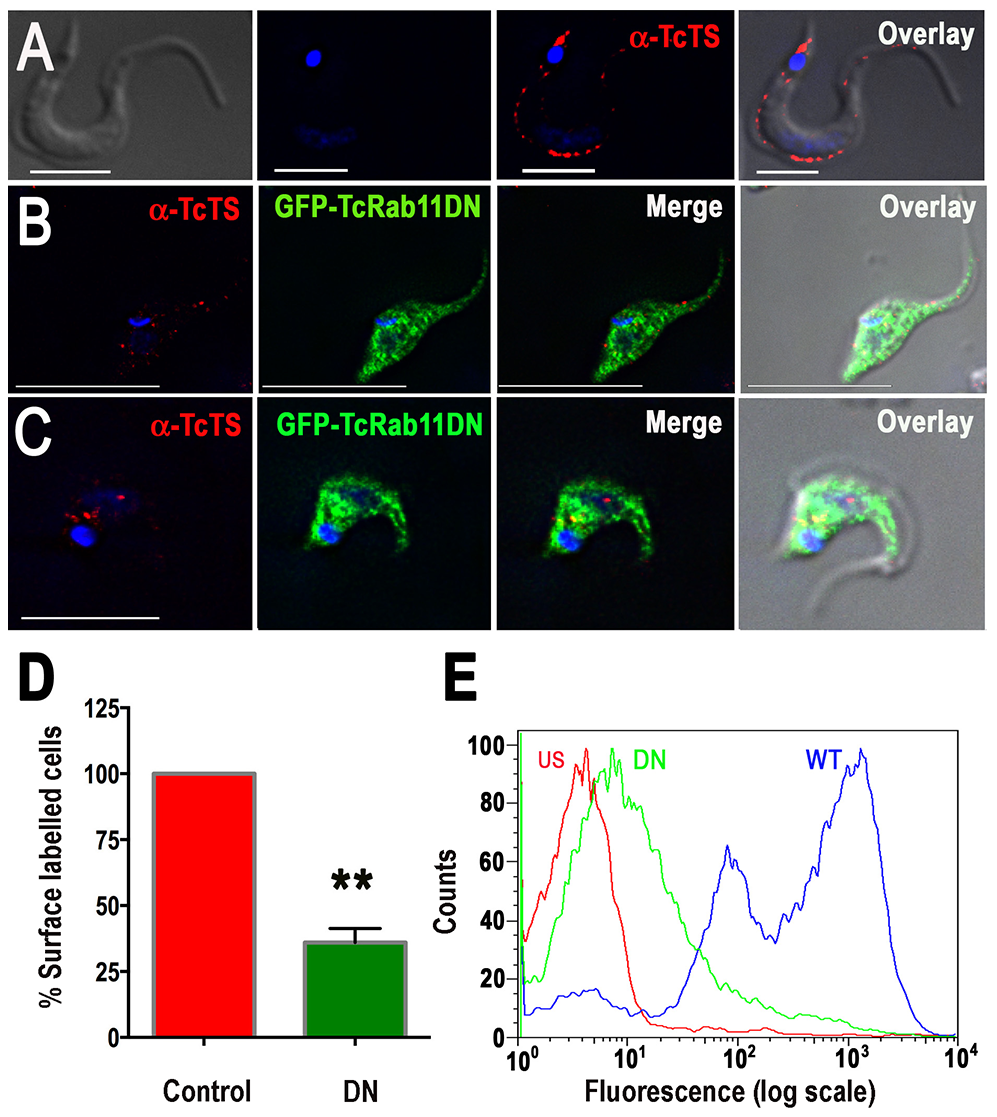 Overexpression of GFP-TcRab11DN reduces the surface expression of TcTS.