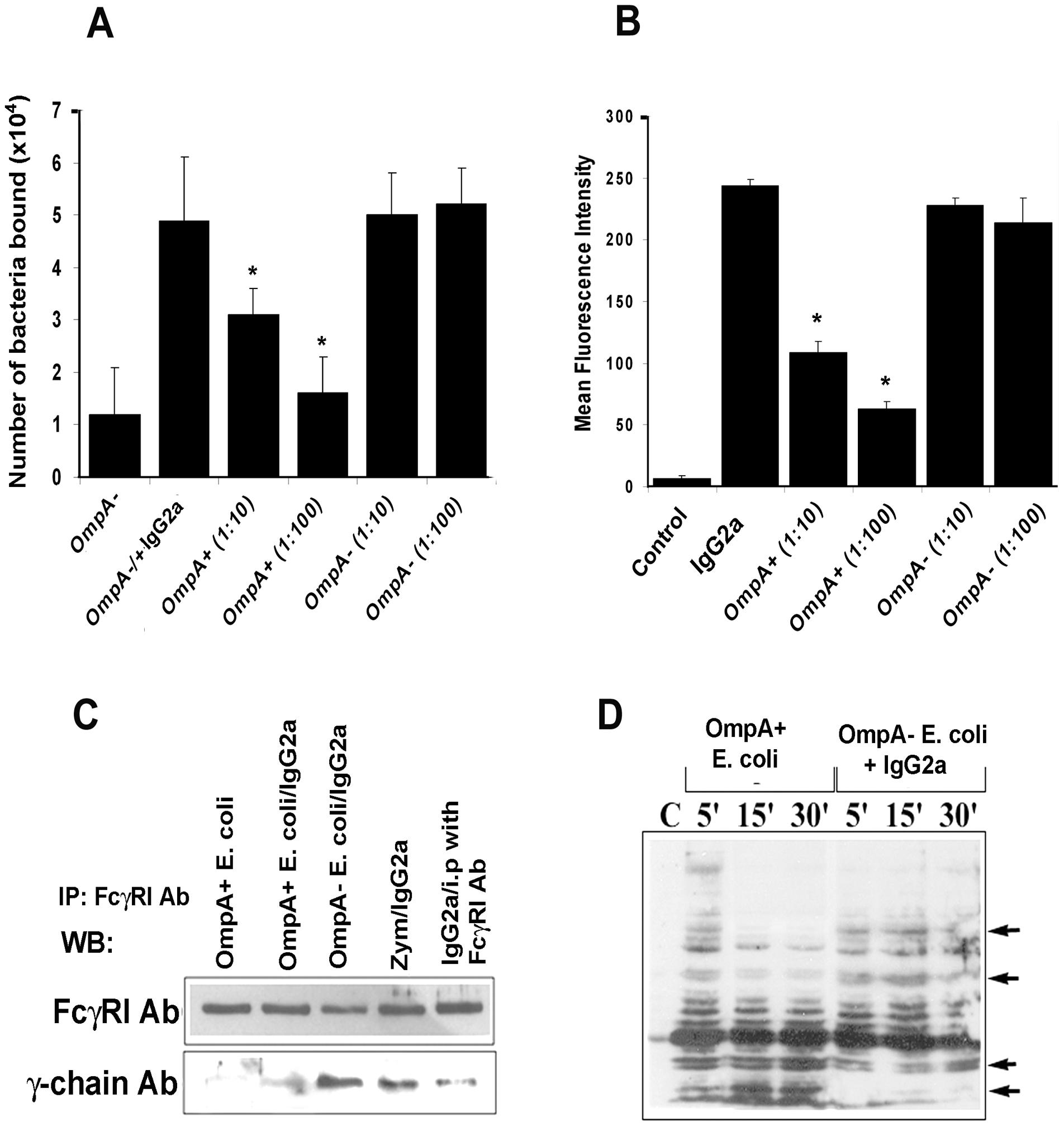 <i>E. coli</i> K1 binds to FcγRIa via OmpA and induces a distinct signaling.