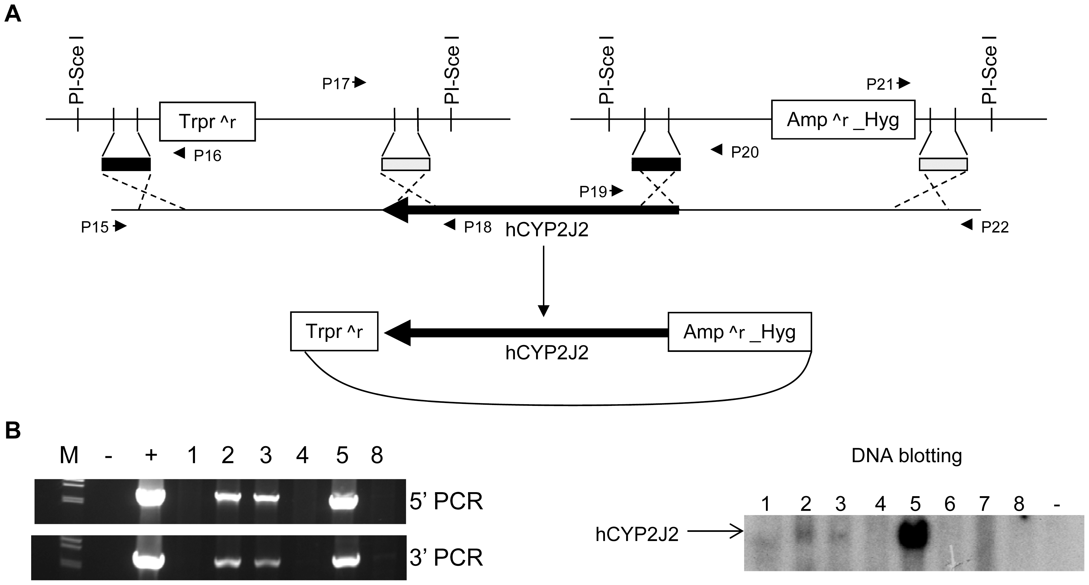Creation of human <i>CYP2J2</i> transgenic mice.
