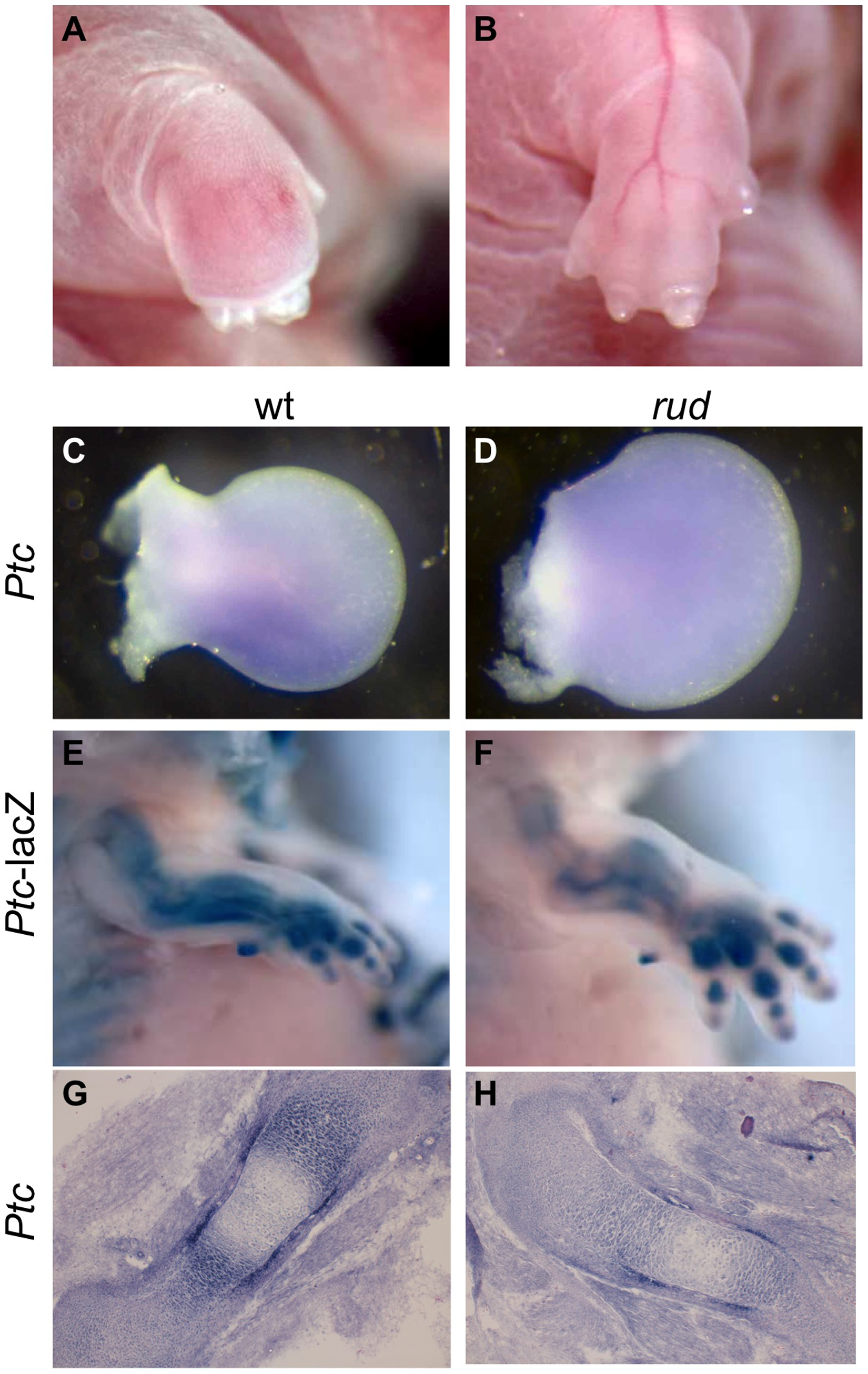 <i>Sonic hedgehog</i> signal transduction is abnormal in <i>rudolph</i> skeletal elements.