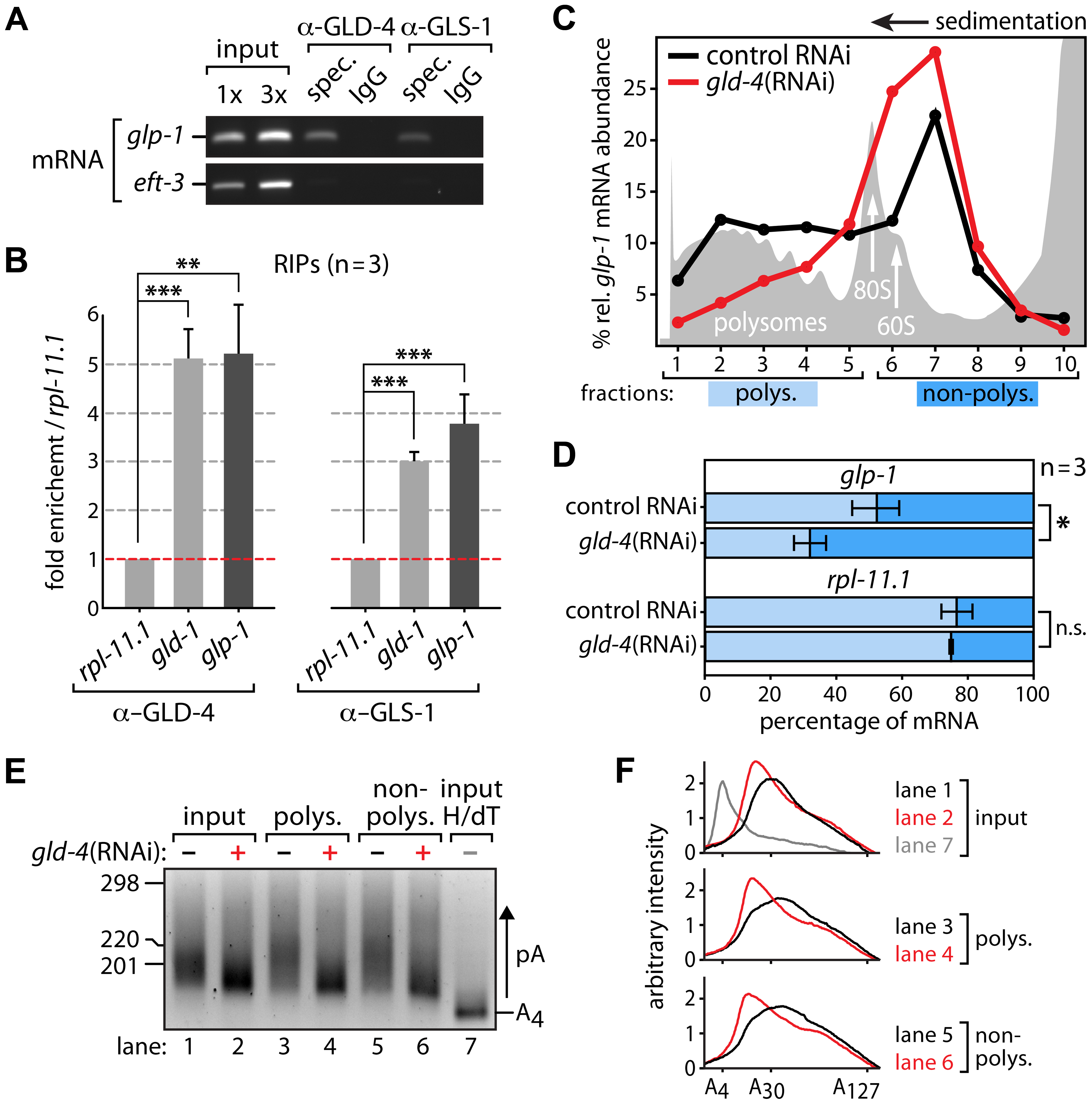 <i>glp-1</i> mRNA associates with GLD-4 and is a likely target of poly(A) tail extension and translational activation.