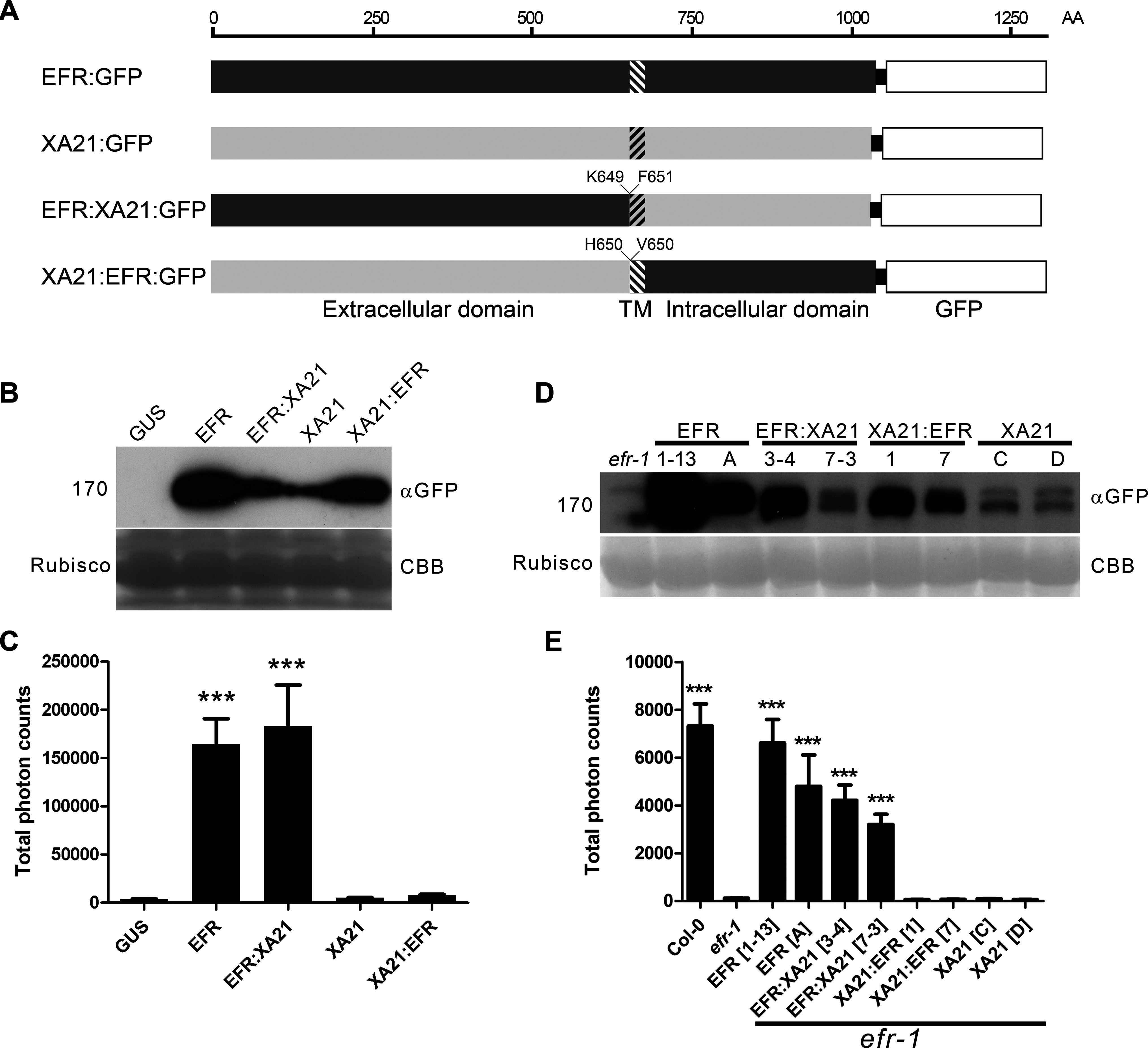 The EFR:XA21 chimera confers immune signaling in <i>N. benthamiana</i> and <i>A. thaliana</i>.