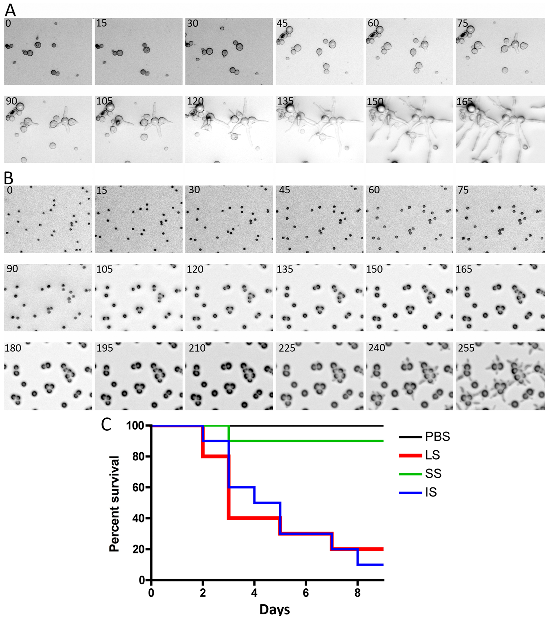 Delay in isotropic to polarized growth transition during germination of small vs. large spores.