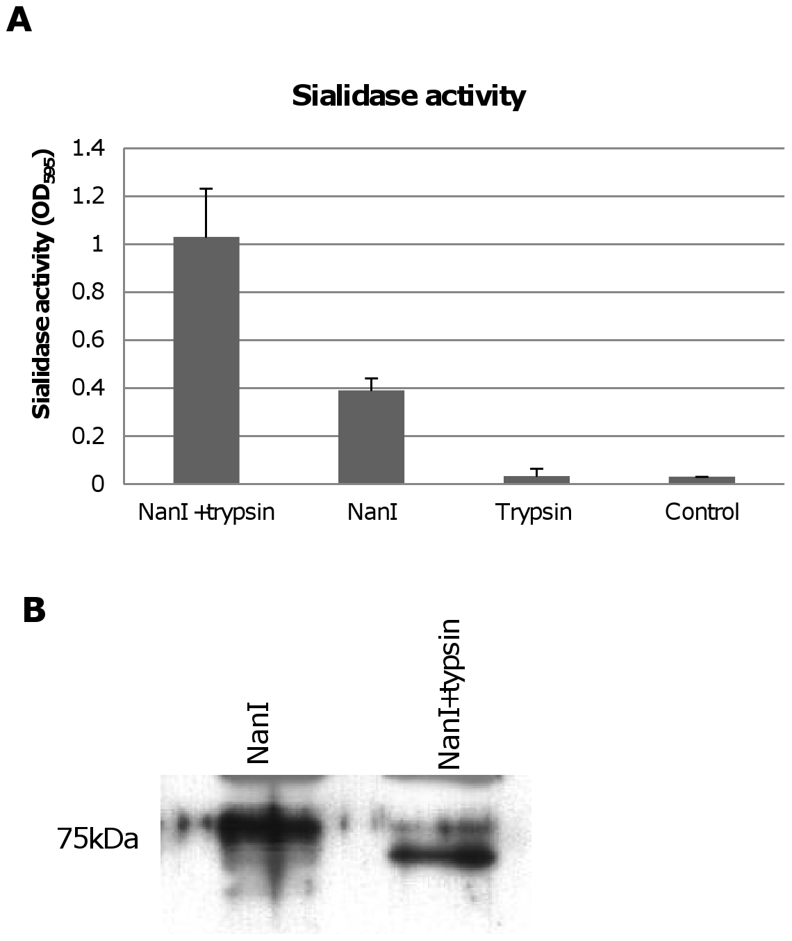 Effects of trypsin treatment on NanI sialidase.