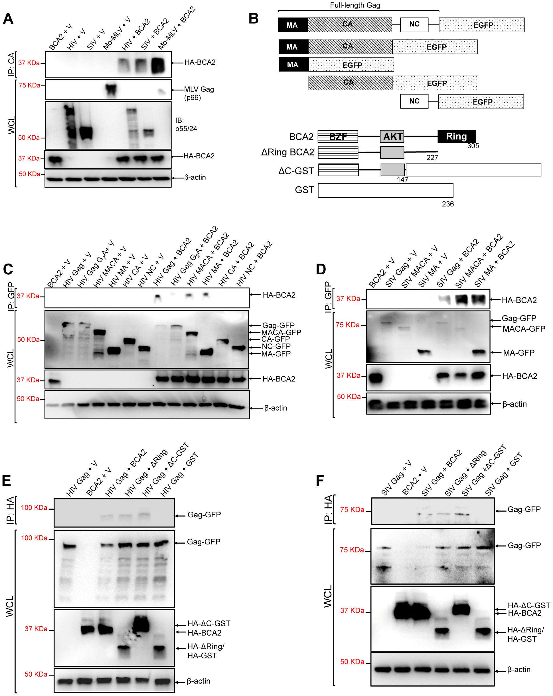 The N-terminus of BCA2 interacts with the Matrix region of Gag.