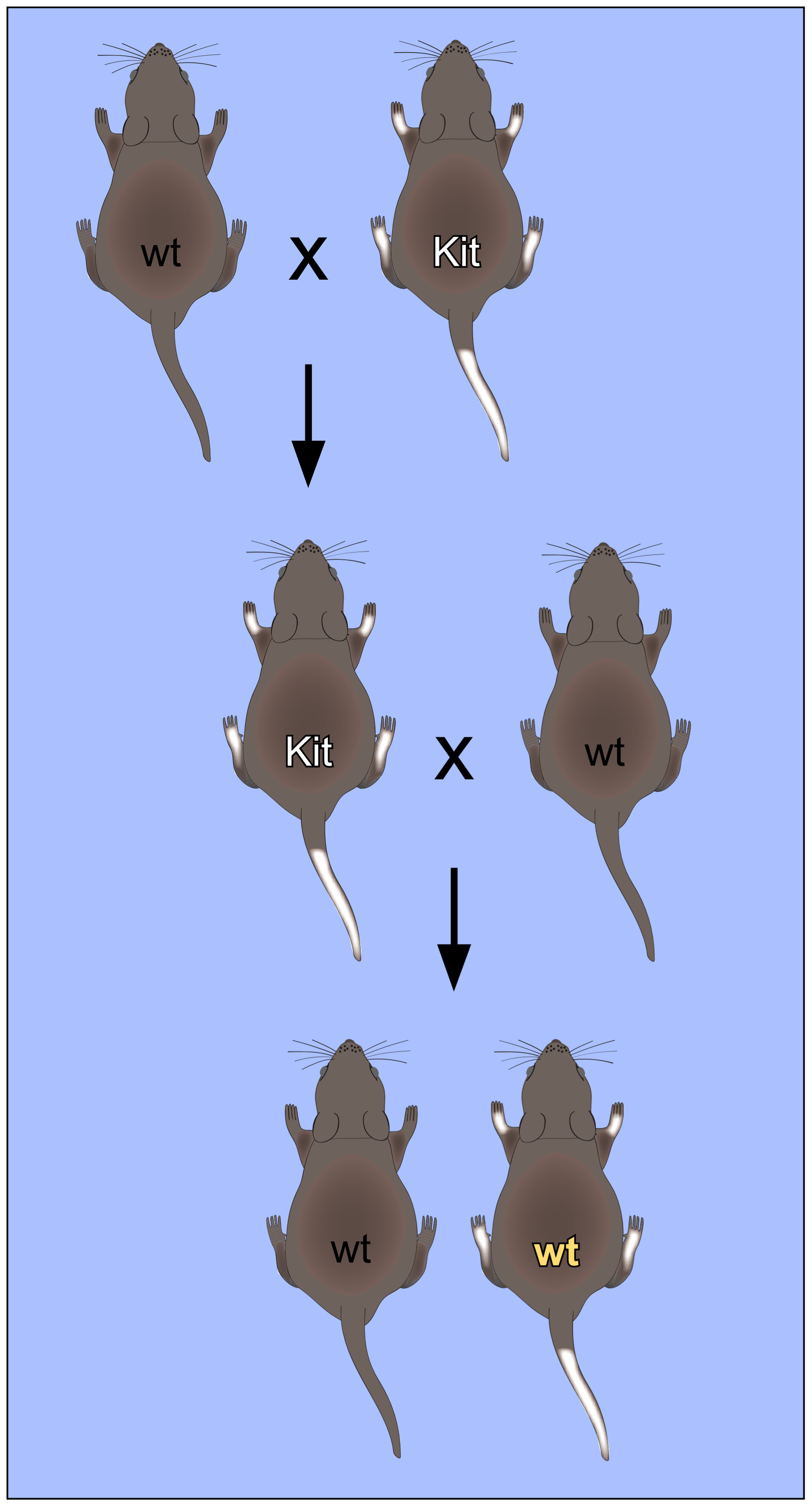 Non-Mendelian inheritance of mouse paramutations.