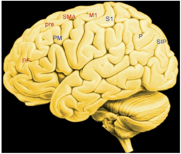 Zevní plocha levé hemisféry Uzly obvodů, jejichž činnost je podkladem volní akce PF....prefrontální kůra Pre...presuplementární kůra SMA...suplementární (doplňková) motorická kůra M1....primární motorická kůra S1....primární somatosenzorická kůra P.....parietální kůra SIP...sulcus intraparietalis Červeně: uzly ventrálního obvodu Modře: uzly dorzálního obvodu Bazální ganglia a přední insulární kůra nejsou znázorněny