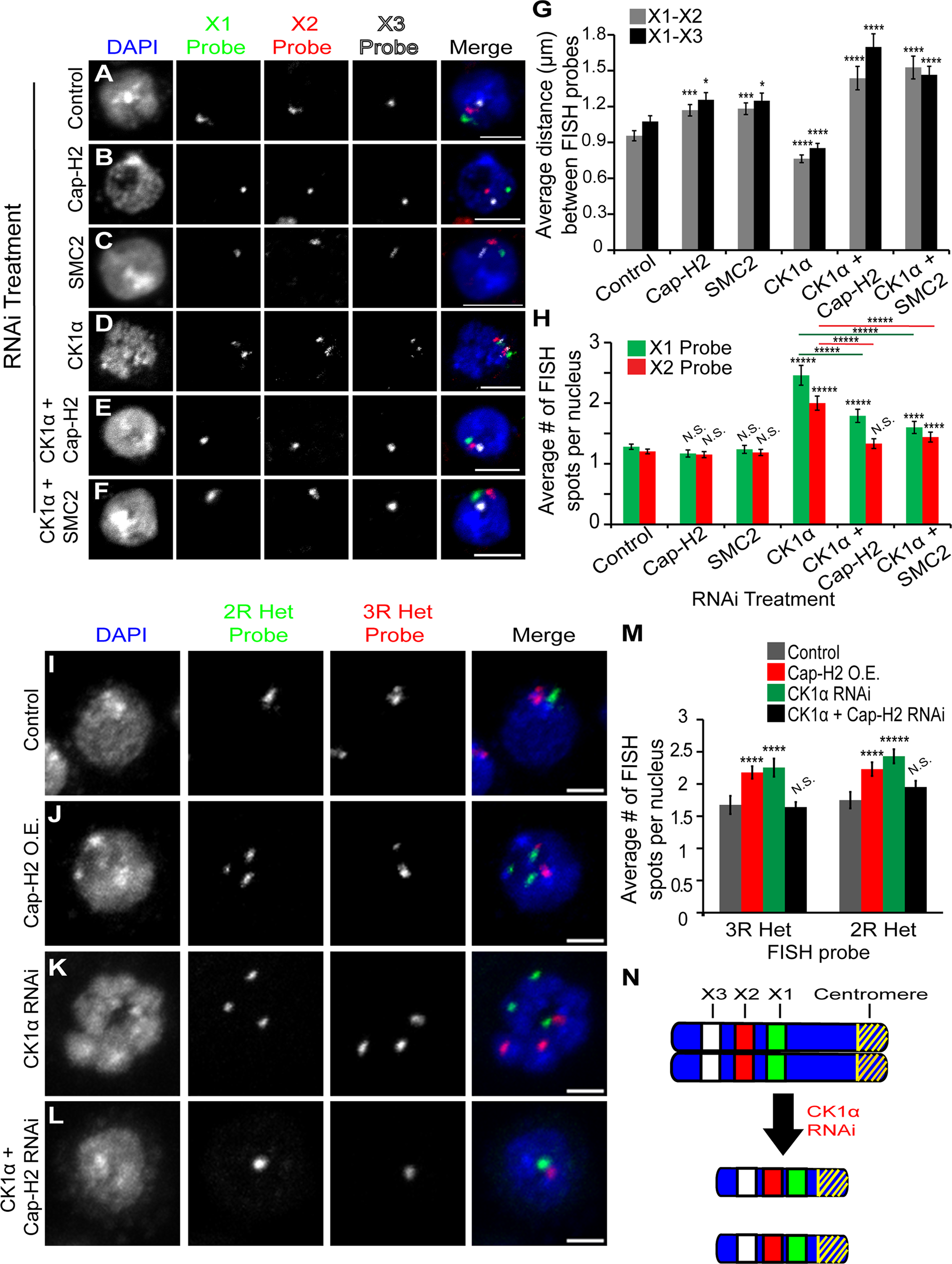 CK1α depletion increases chromosome compaction and unpairing activity in Kc cells.