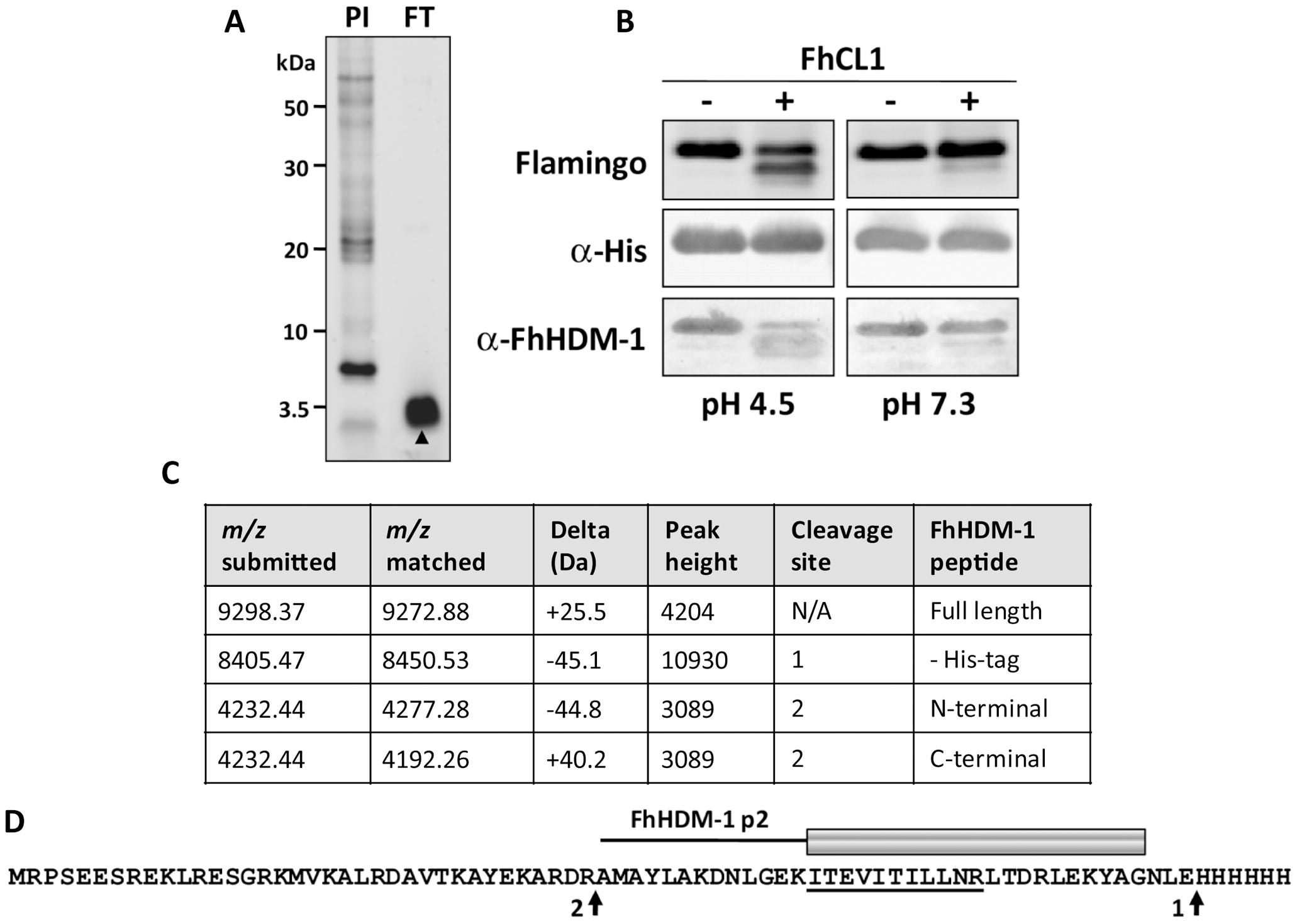FhCL1 processes FhHDM-1 at low pH.