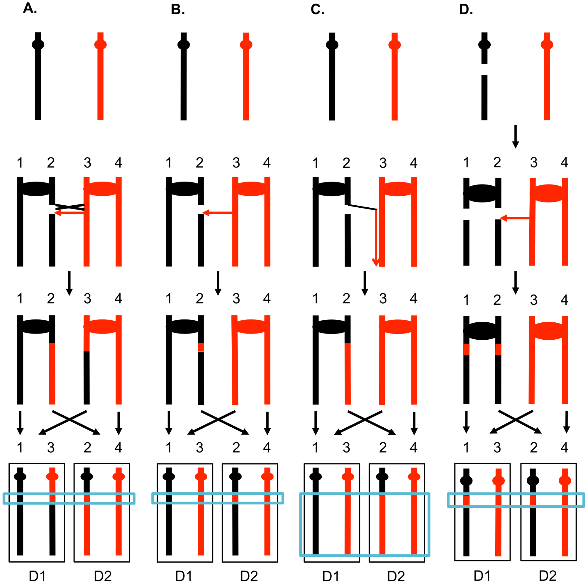Patterns of mitotic gene conversions and crossovers.
