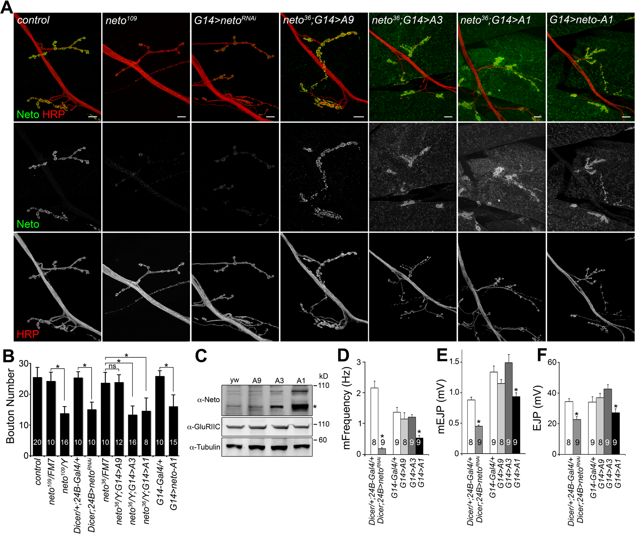 Neto levels affect NMJ development and function.